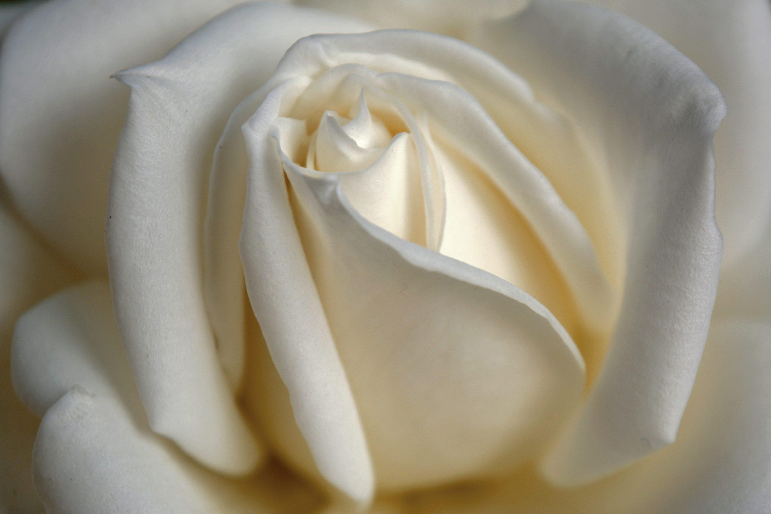 White rose flower background