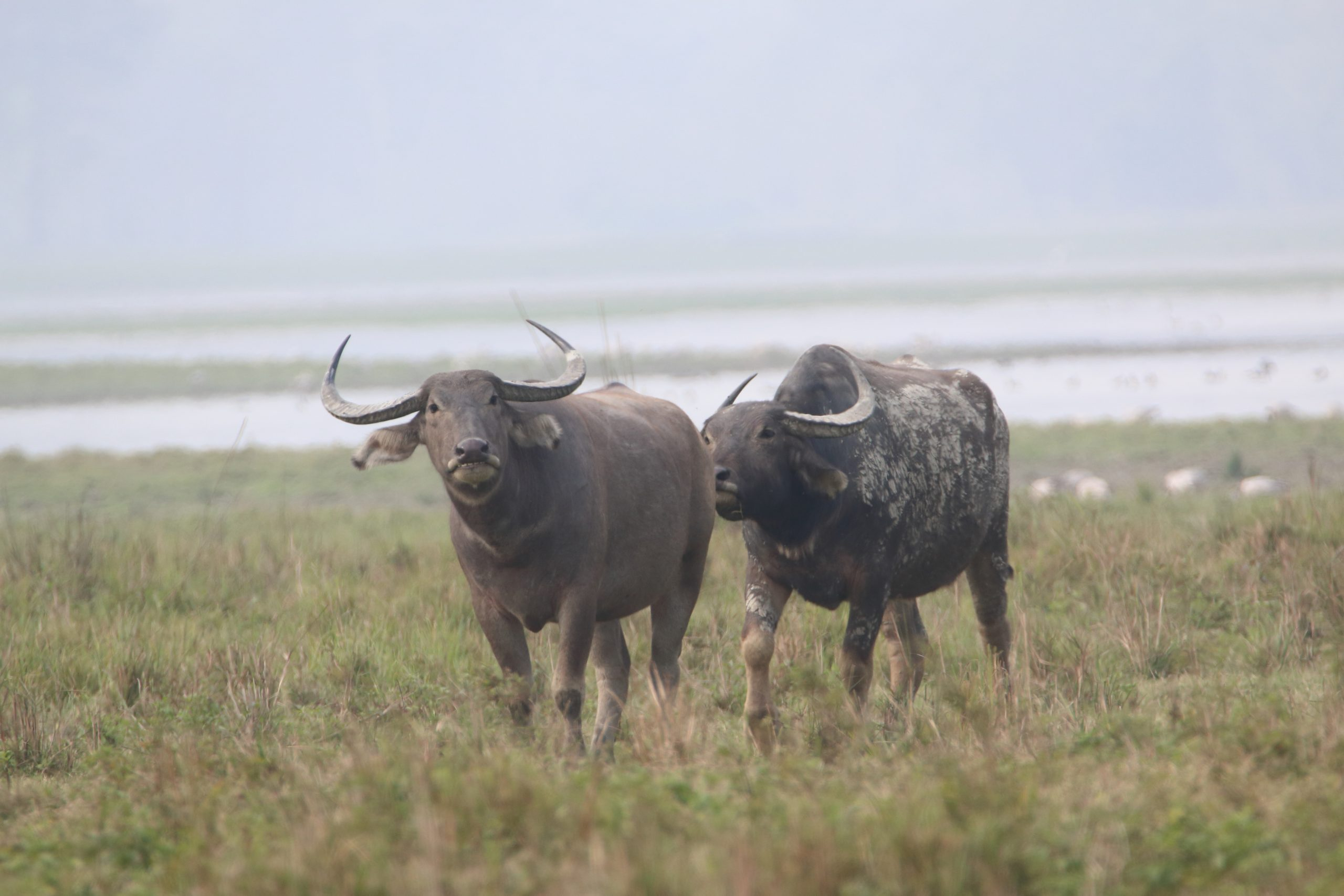 Wild buffalo on the grass