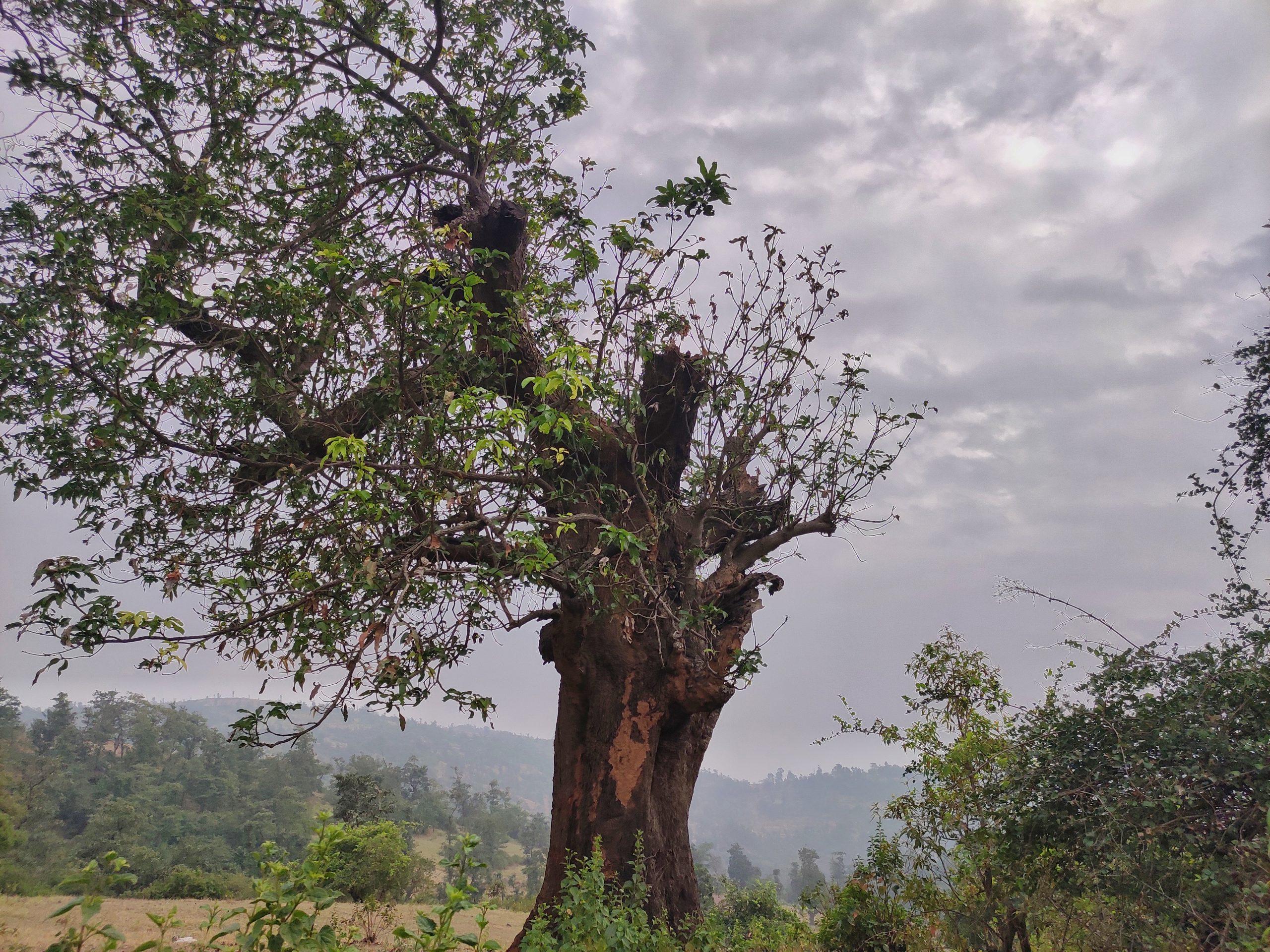 Lonely tree on Wilson hills.