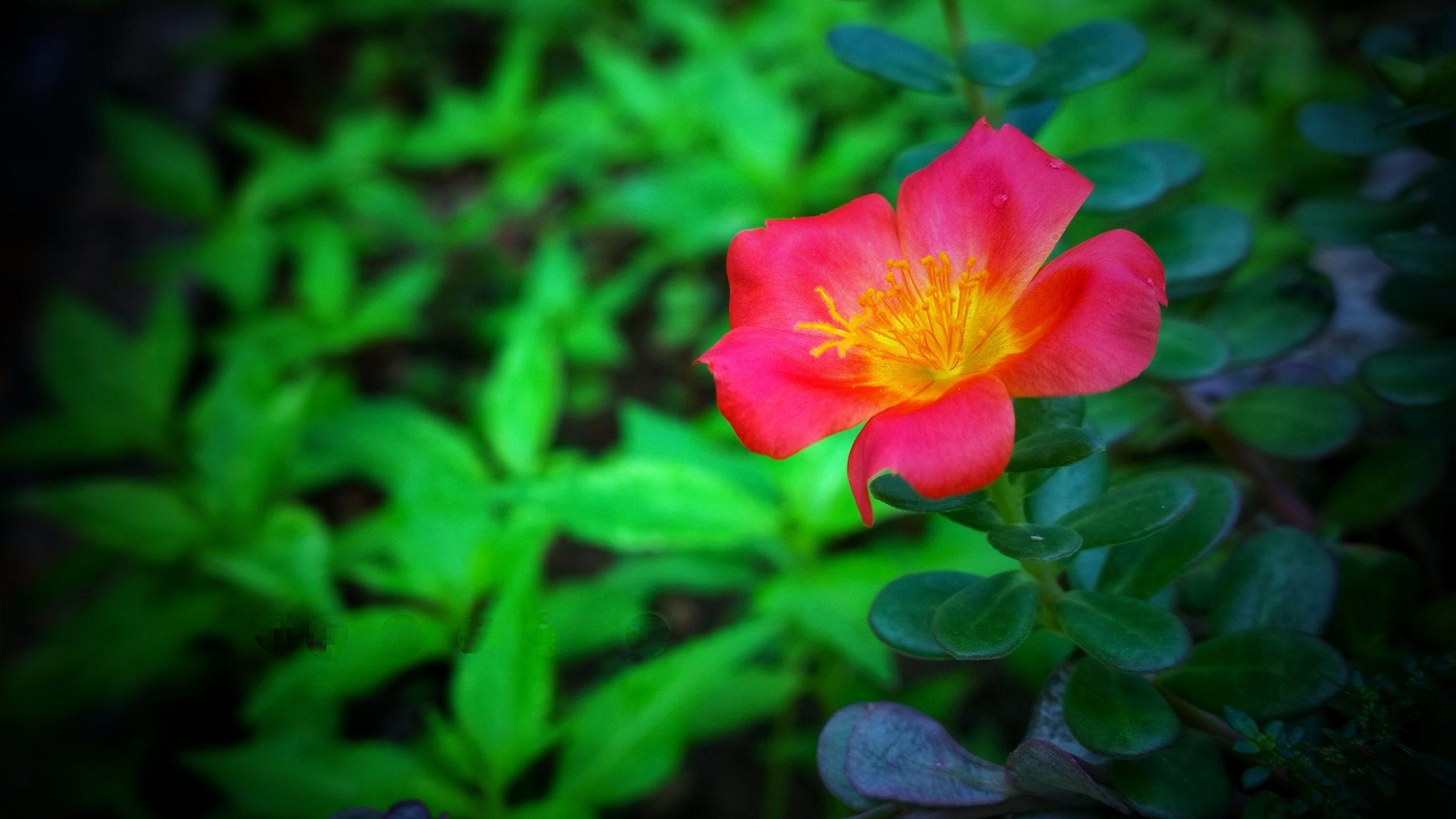 Wingpod Purslane Flower