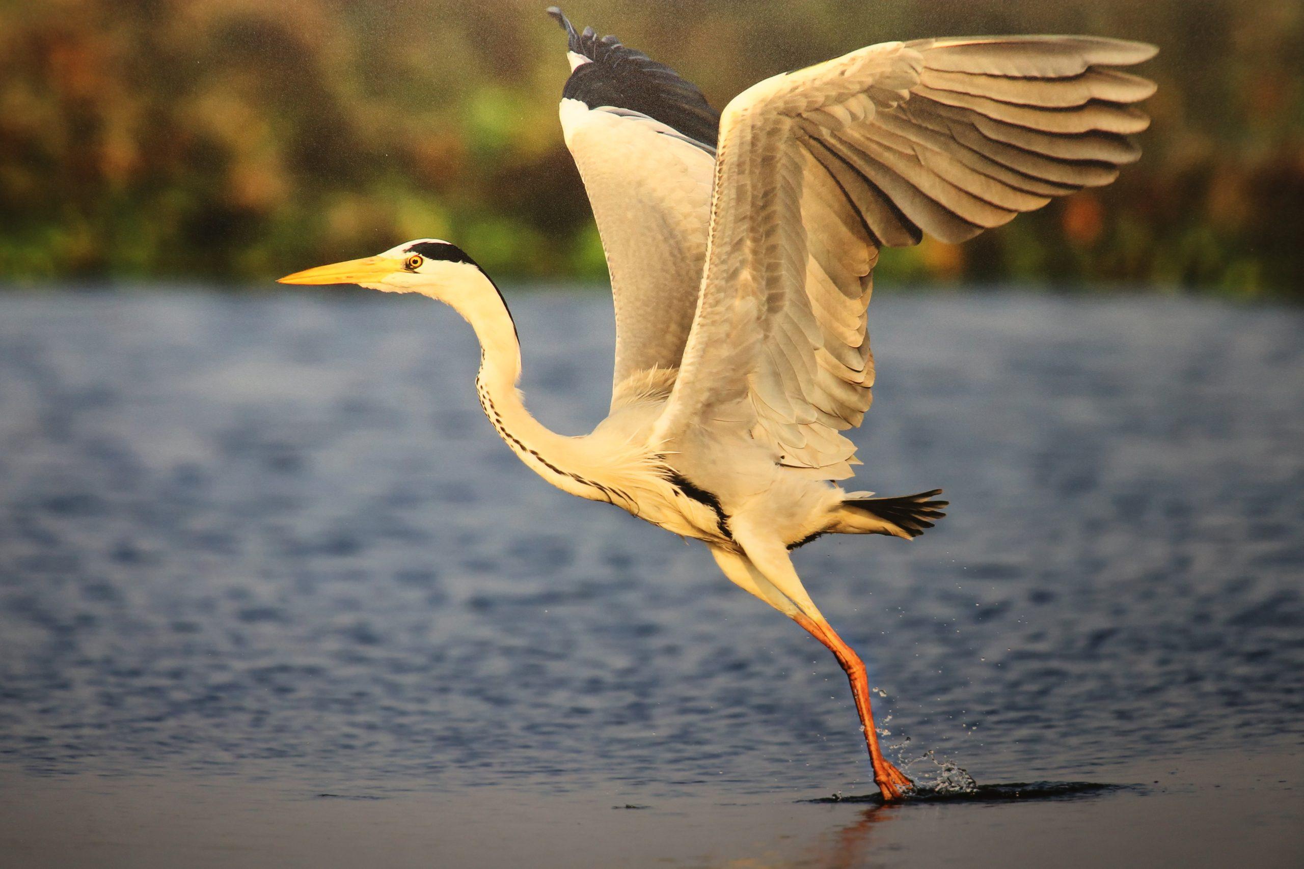 Stork Bird Hunting Food