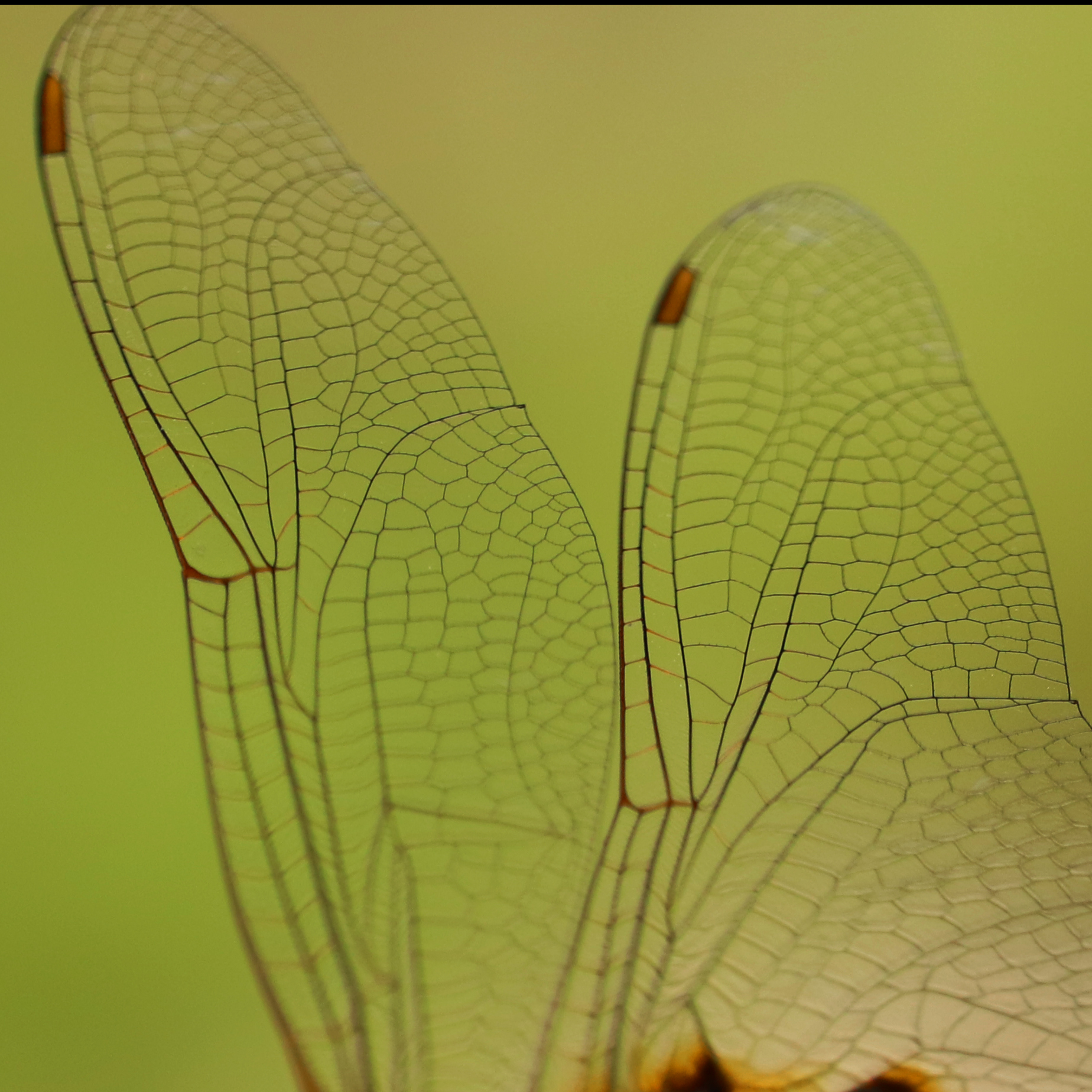 Wings of a dragonfly in close-up