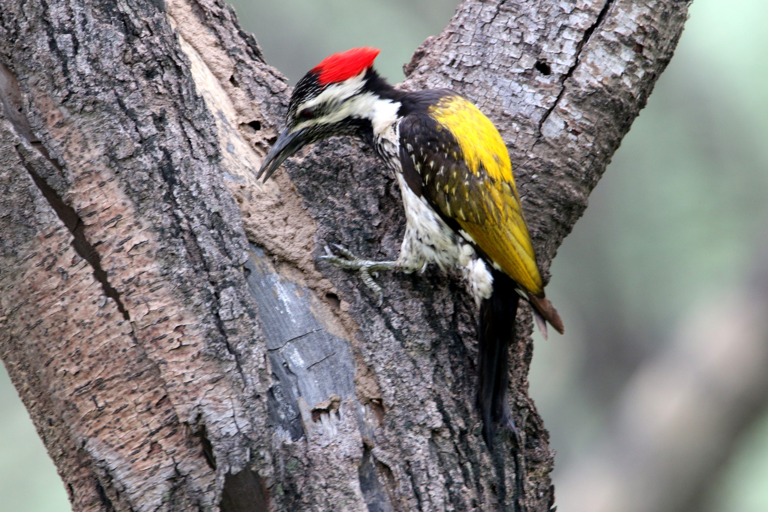 Woodpeckers on Branch