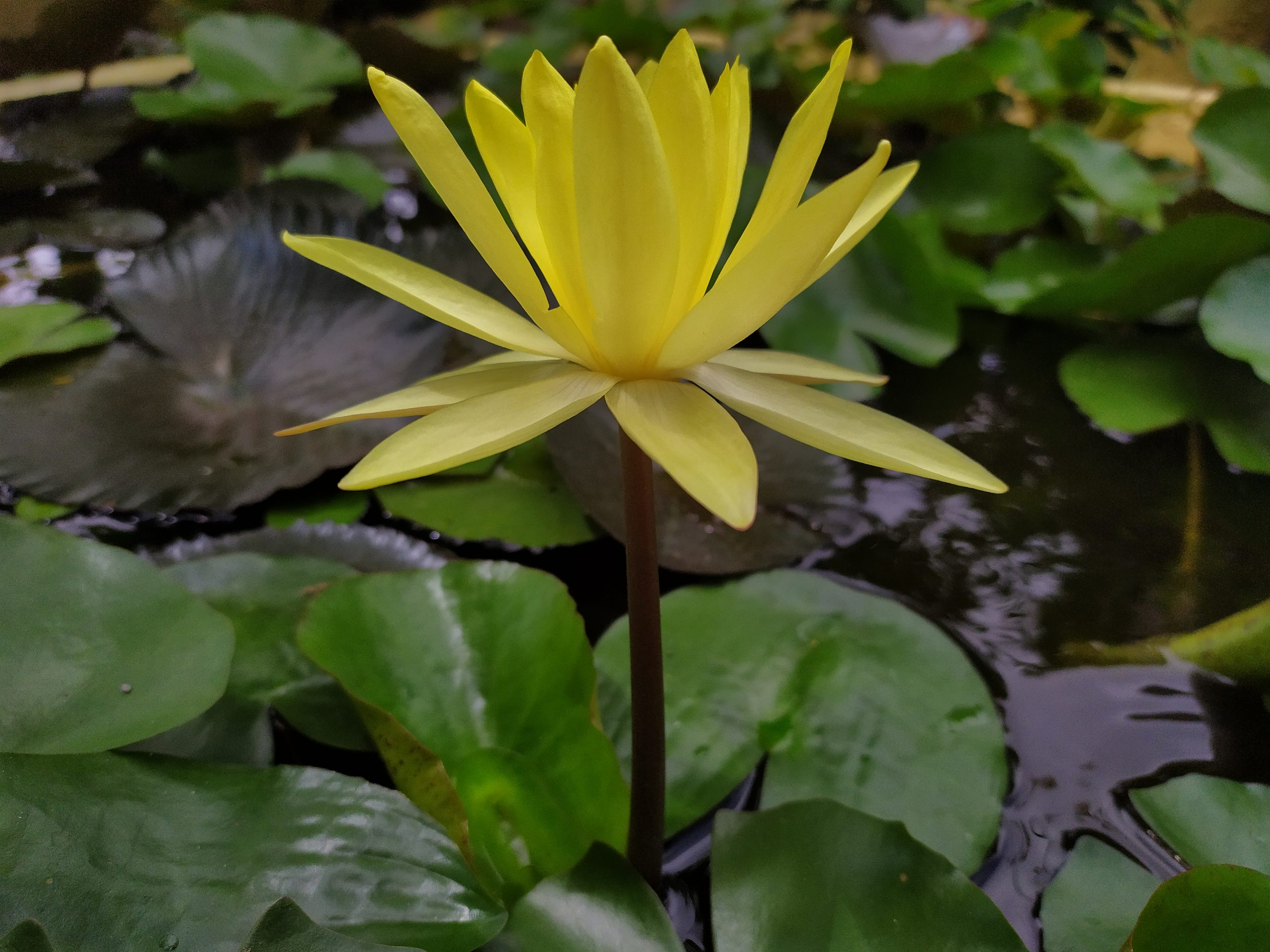 Yellow Lotus Flower in the Pond