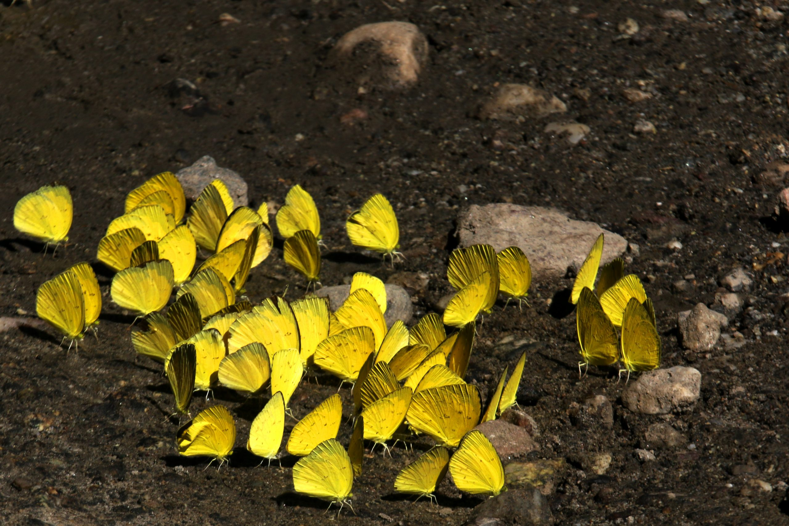 Yellow butterflies