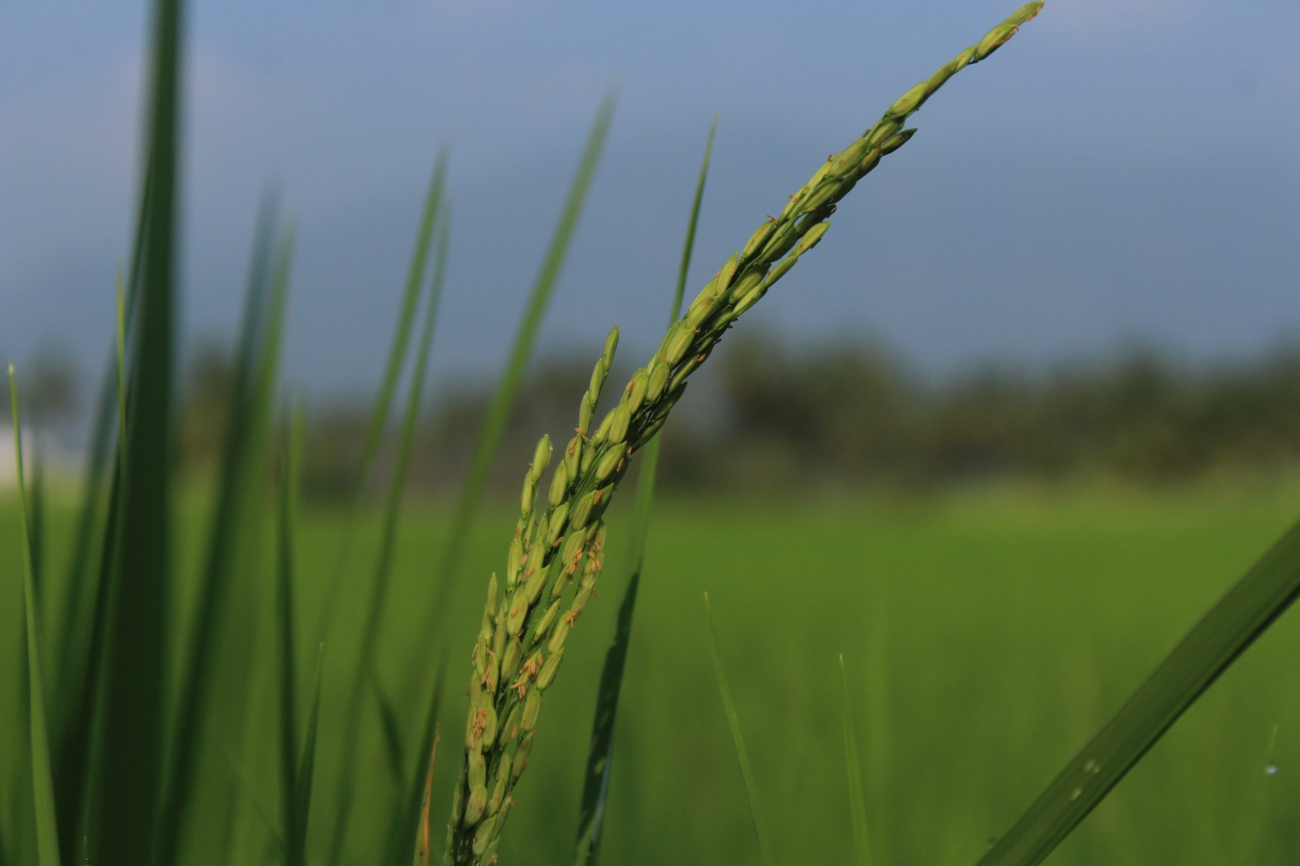 Young rice crop