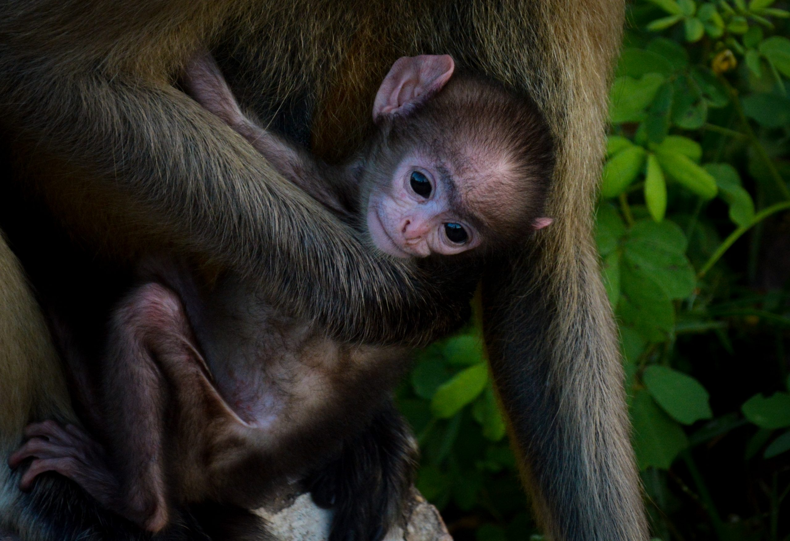 Monkey Offspring