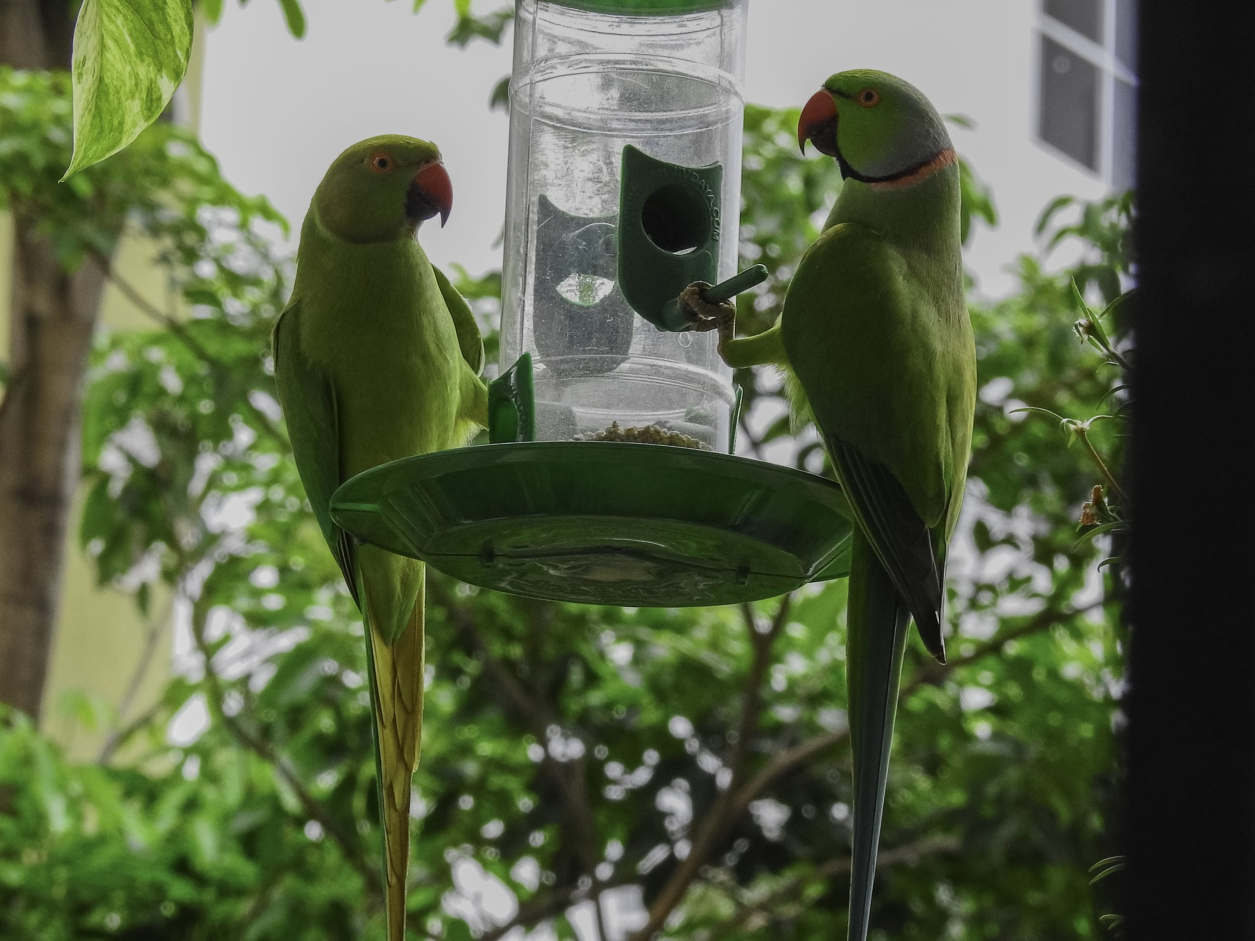 Feeding food to couple of parrots.