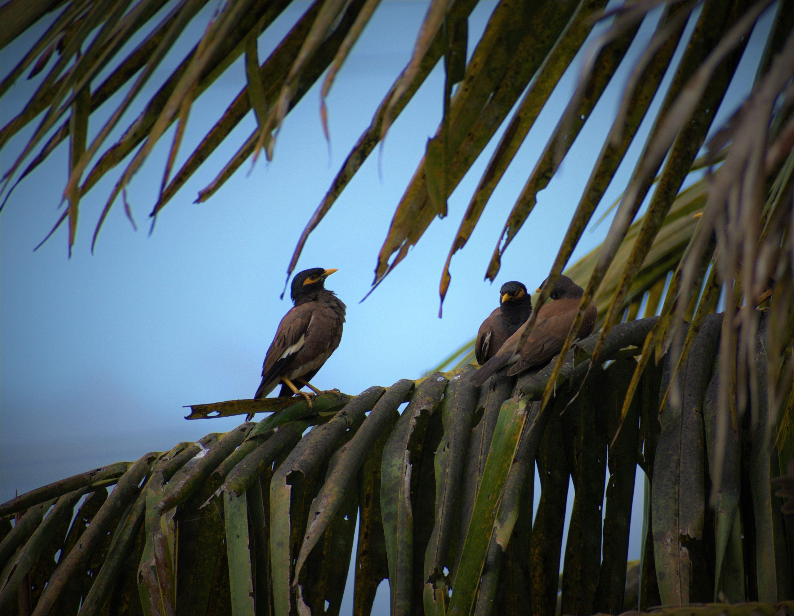 flock of mynas discussing