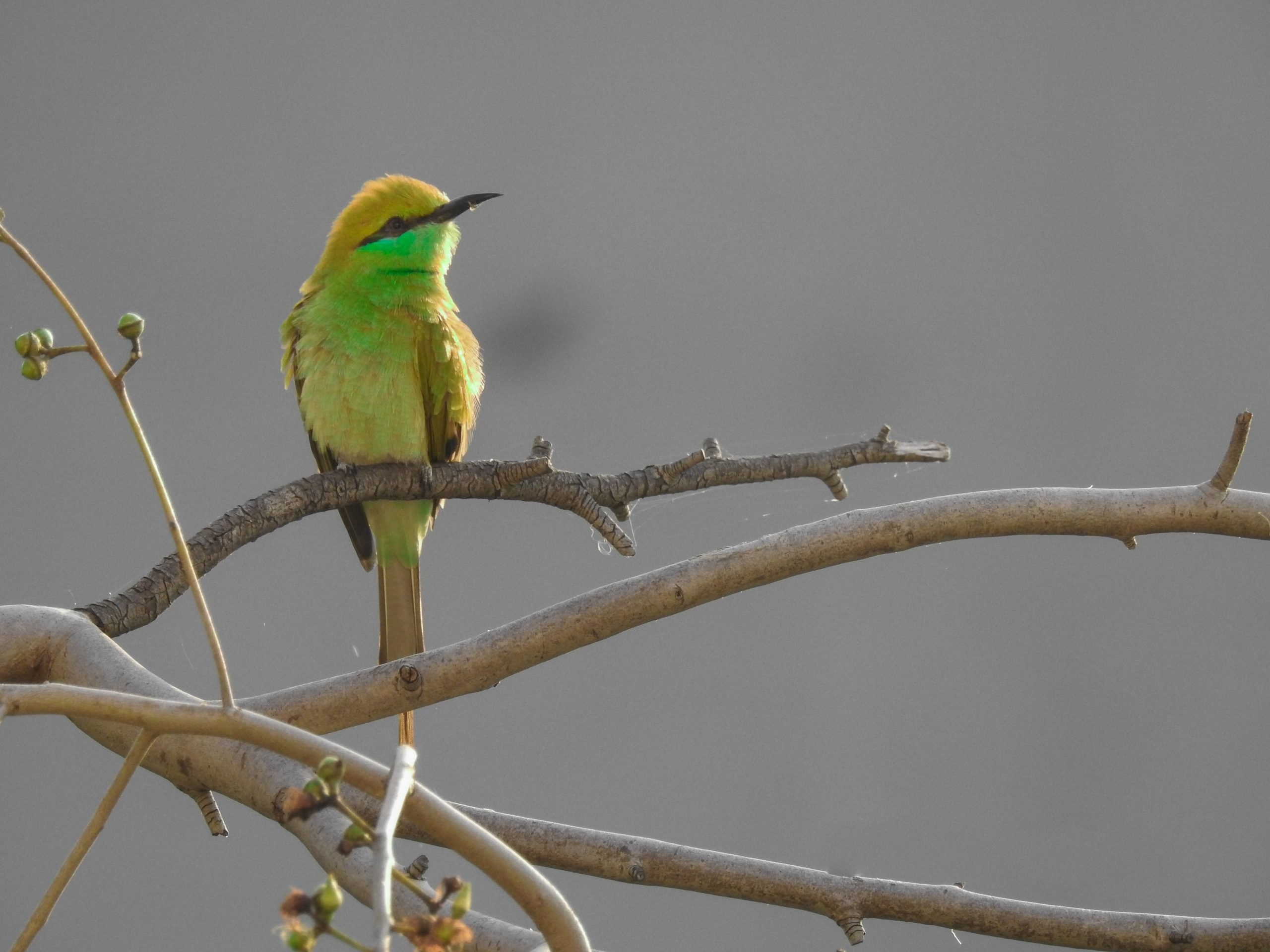 Green bee eater sitting on a branch.