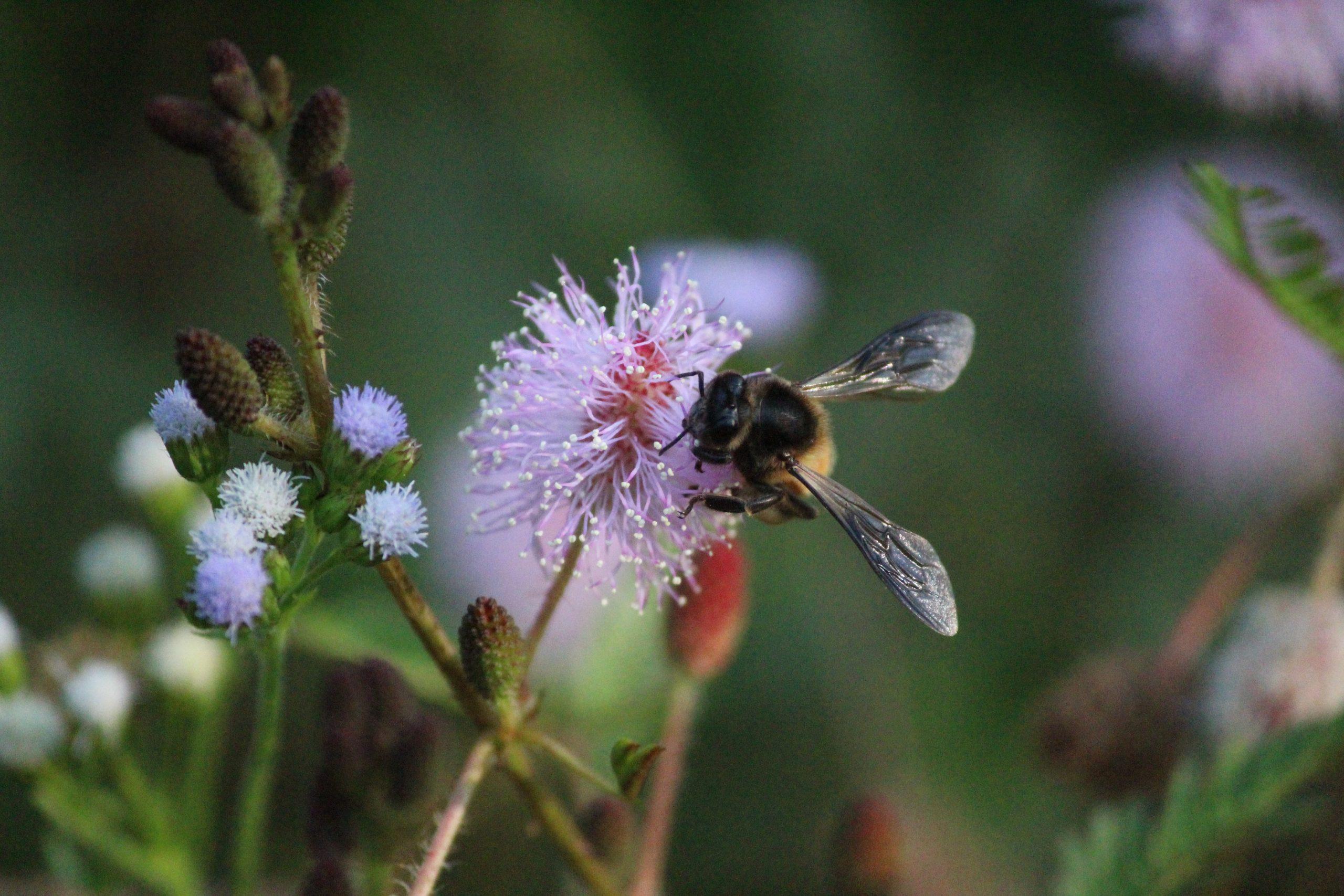 honey bee sucking nectar