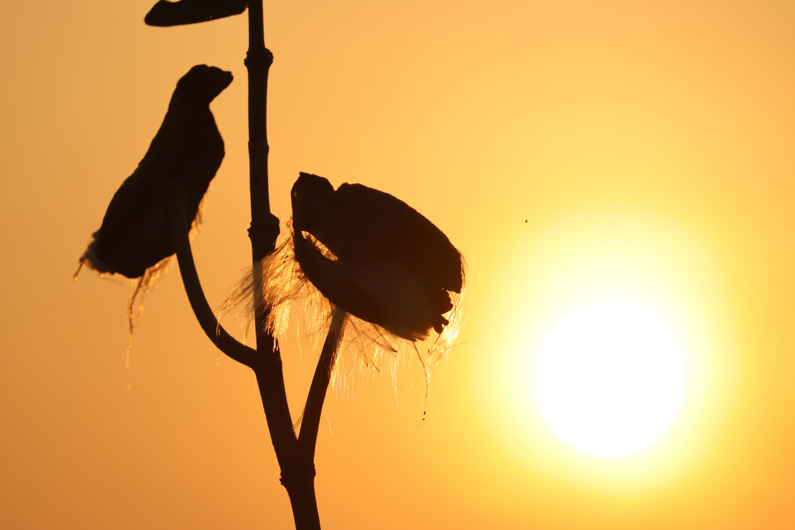 silhouette of cotton tree close-up
