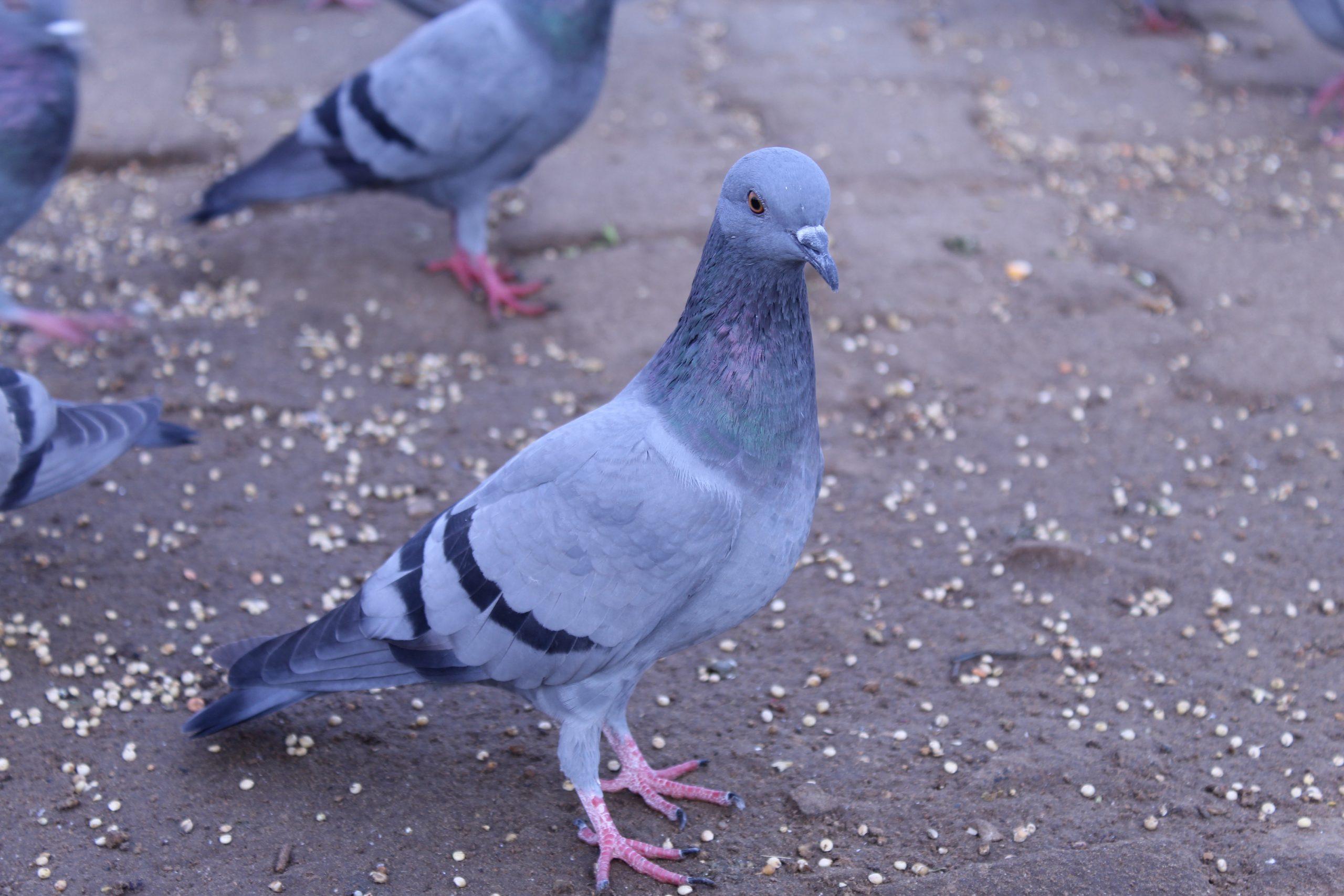 stock dove on the Ground