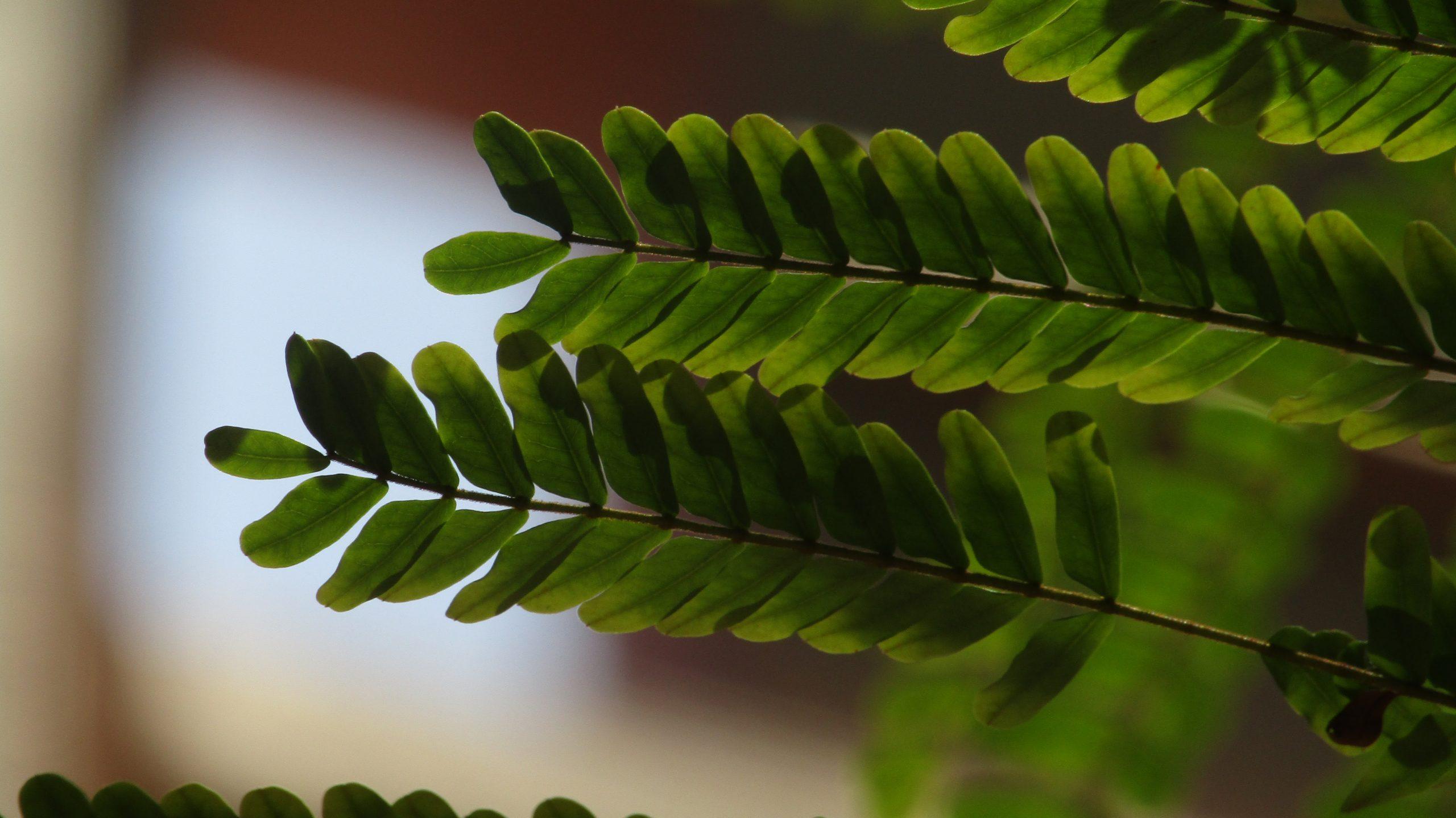 Moringa leafs.