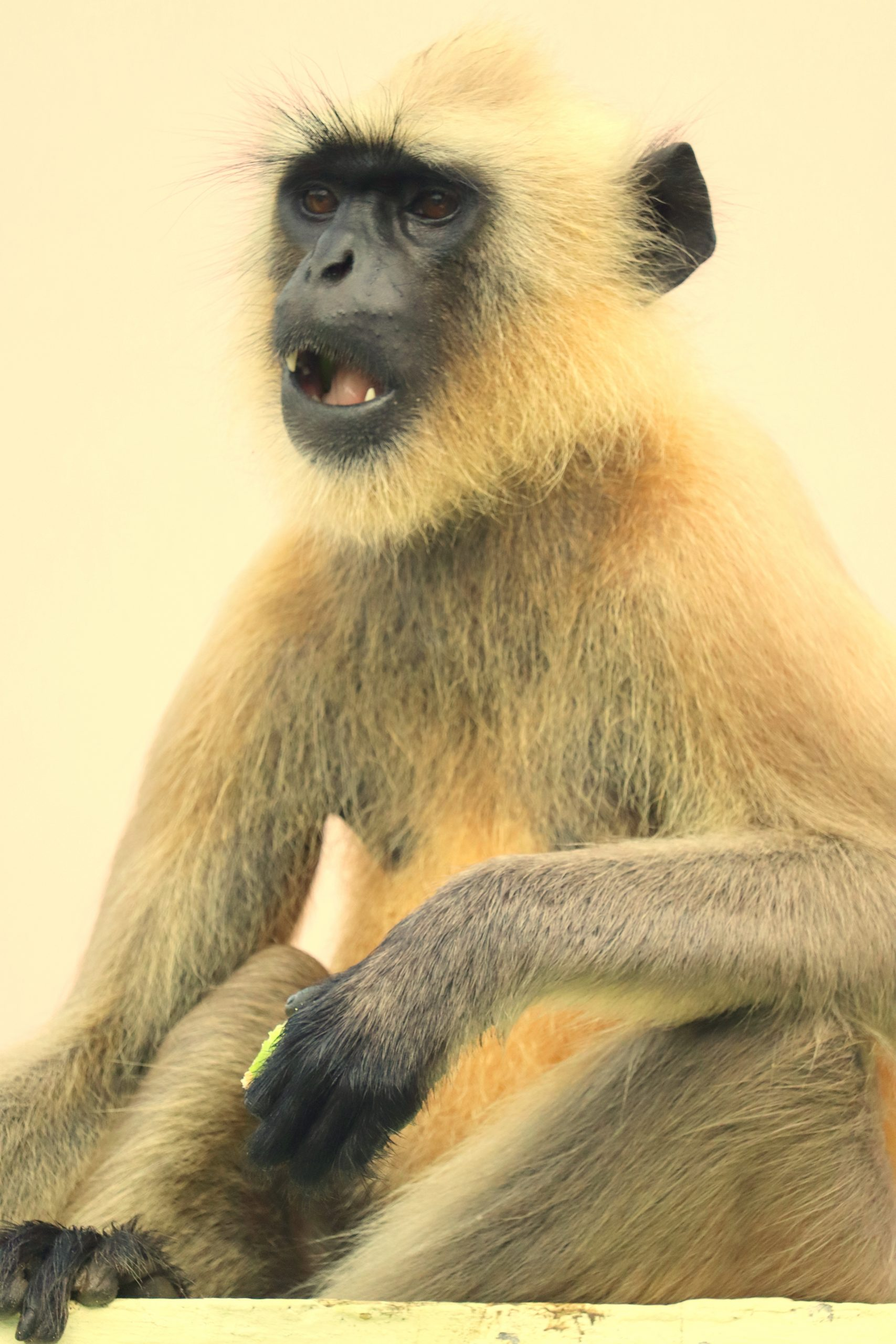 vervet with an opened mouth