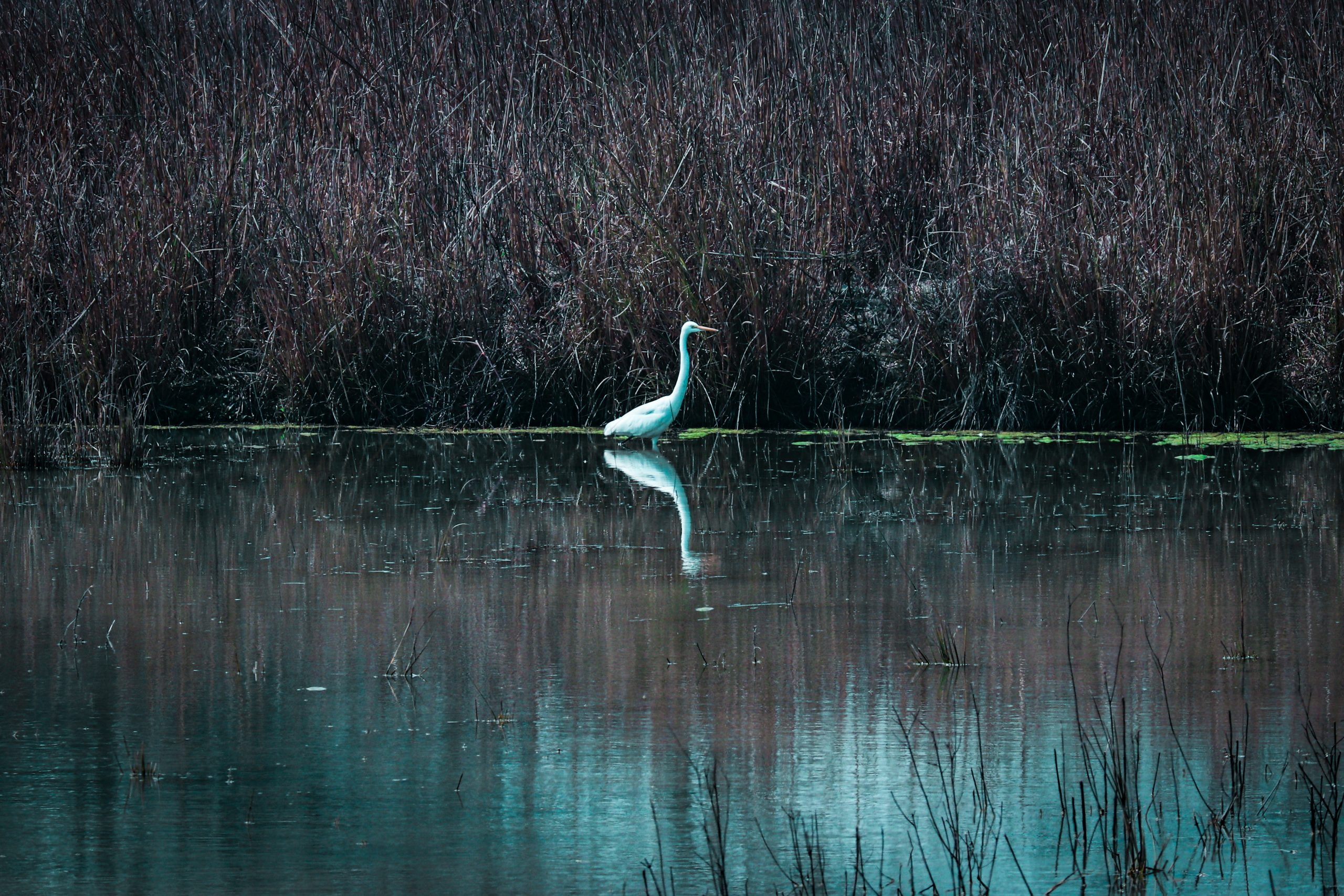 A egret in a pond