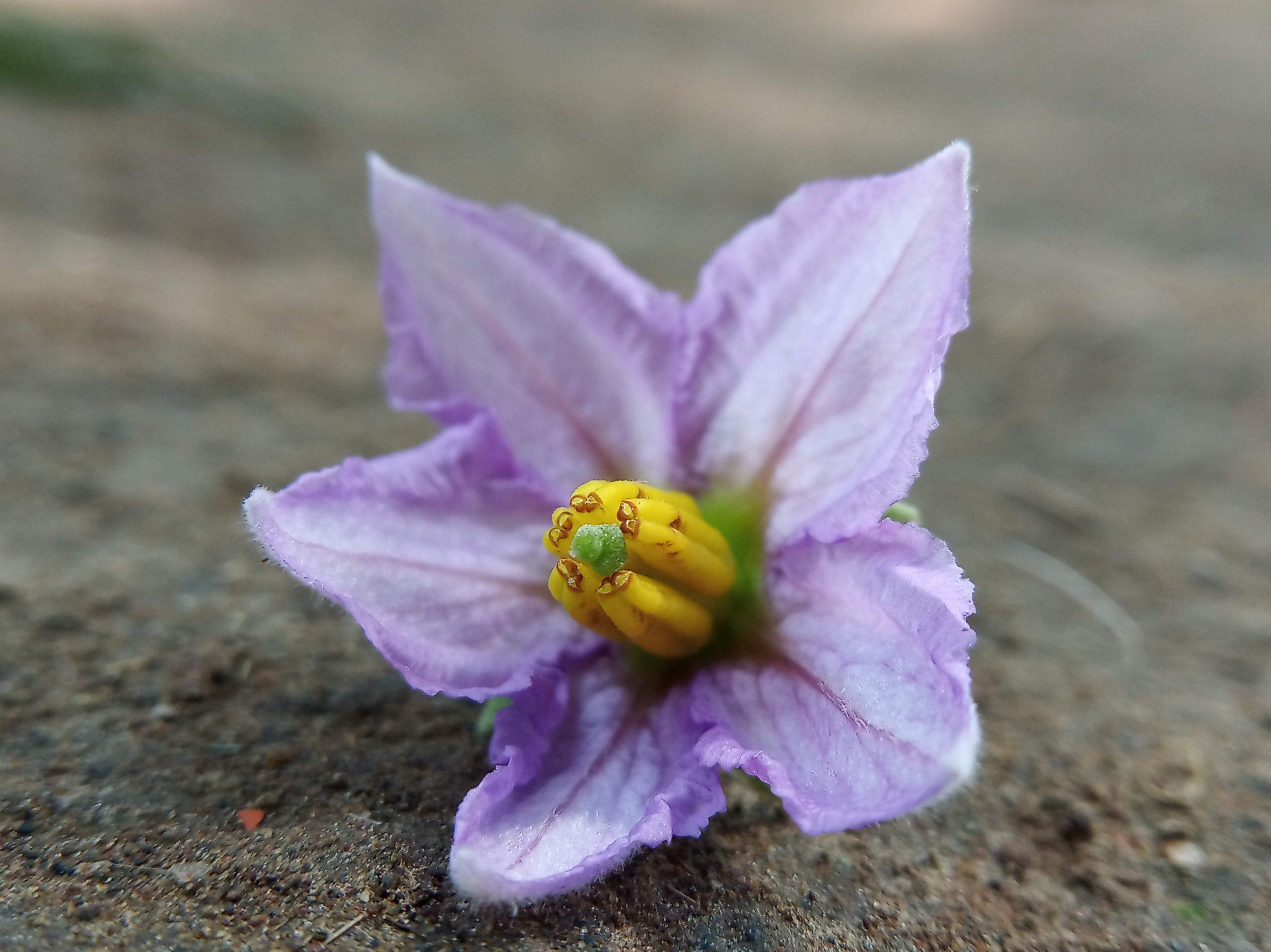 A fallen brinjal flower