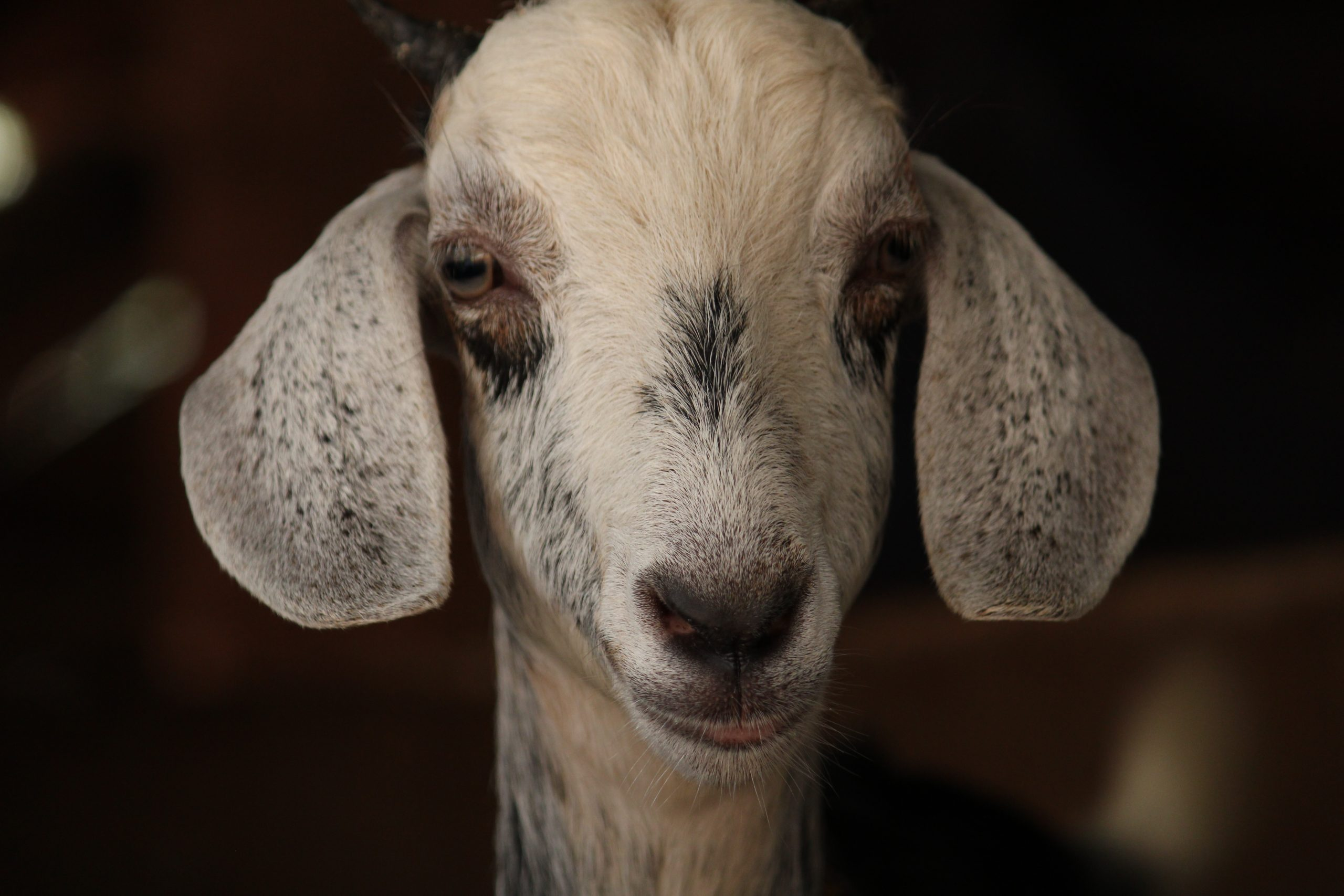 A goat looking
