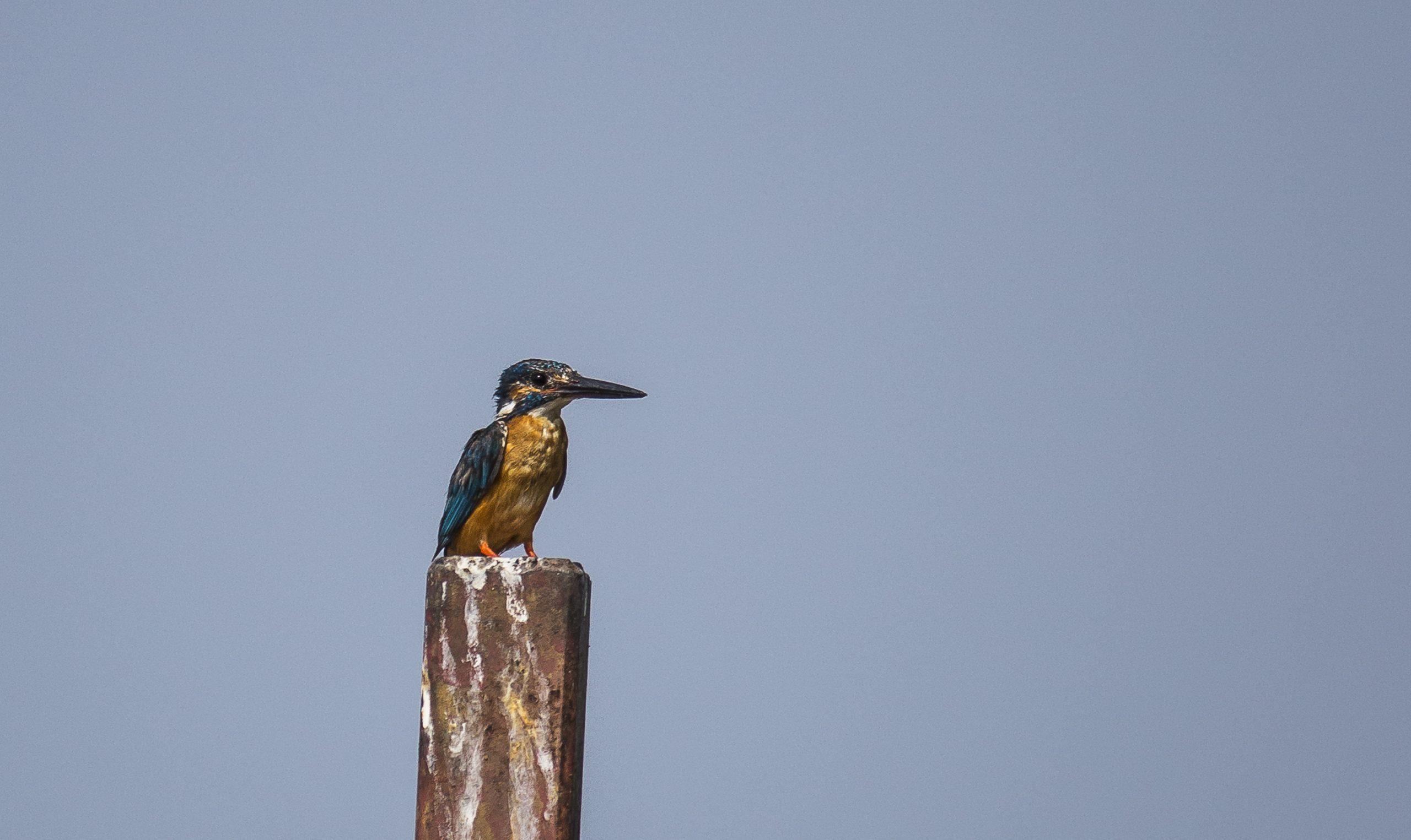A kingfisher on a pole