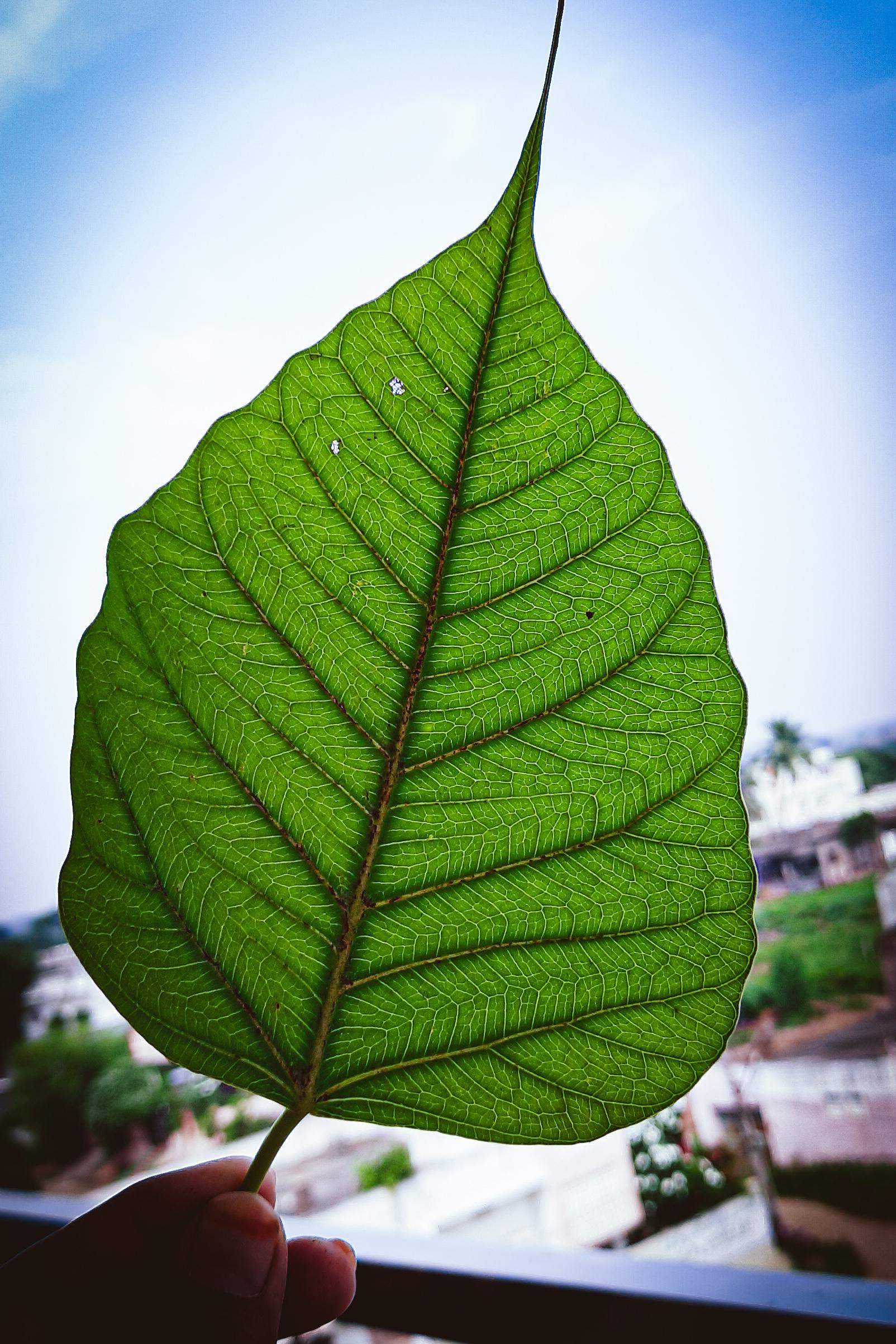 A leaf of Ficus religiosa