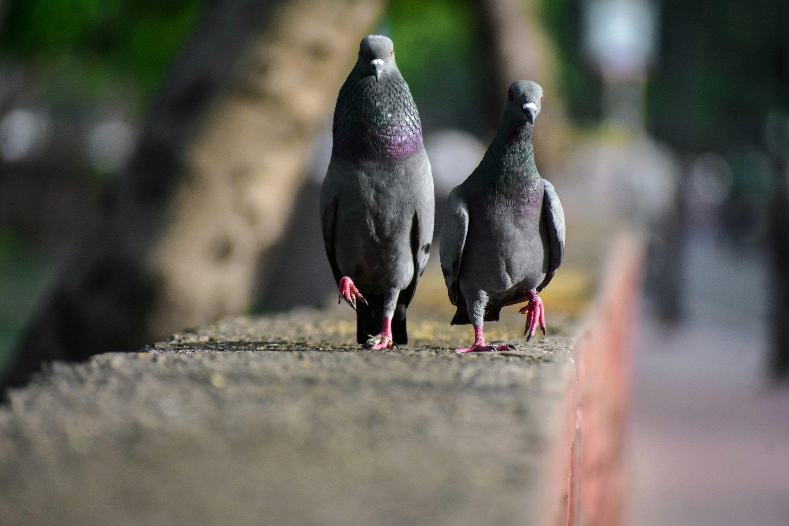 Pigeons walking on flat surface