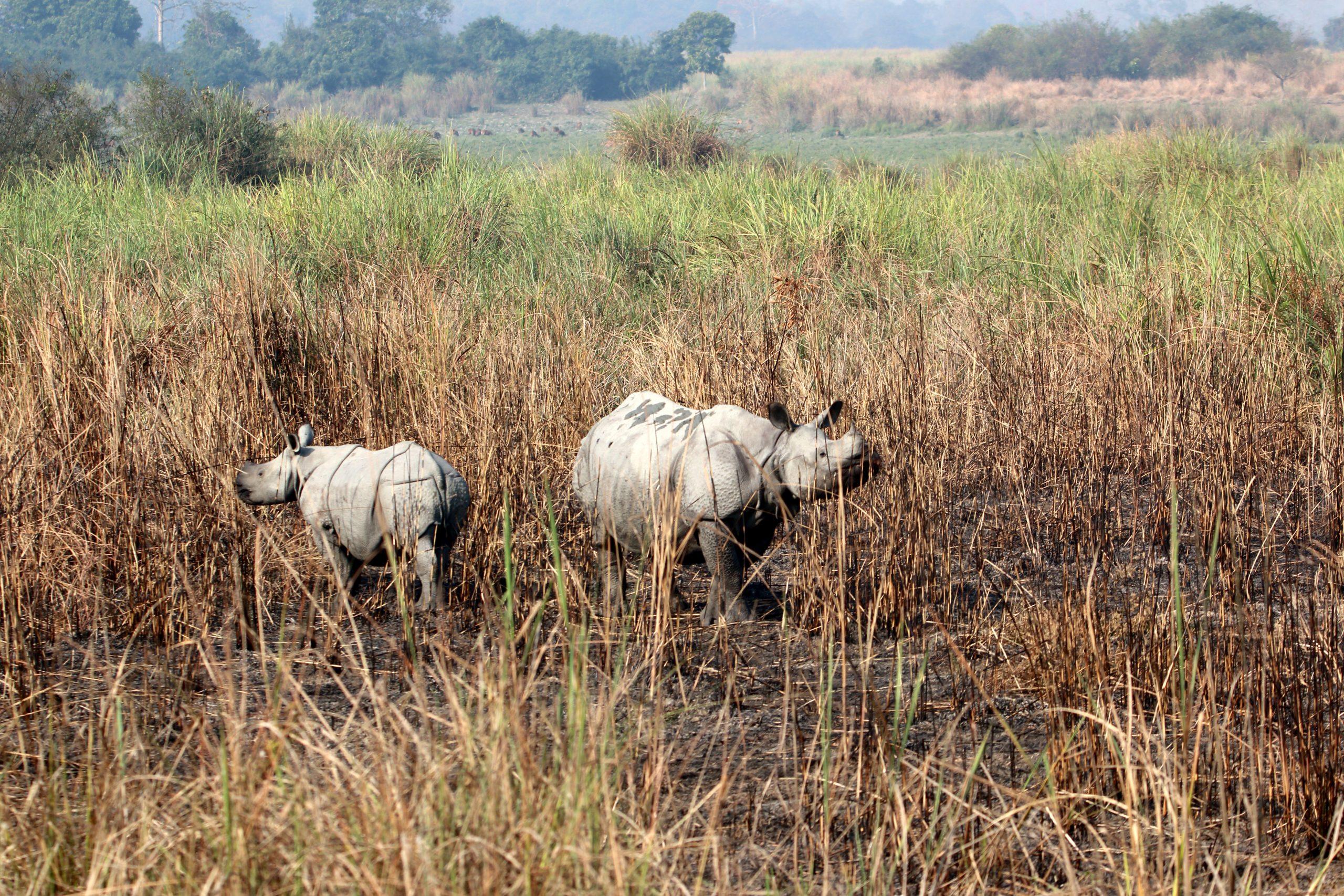 A pair of rhino in grassland