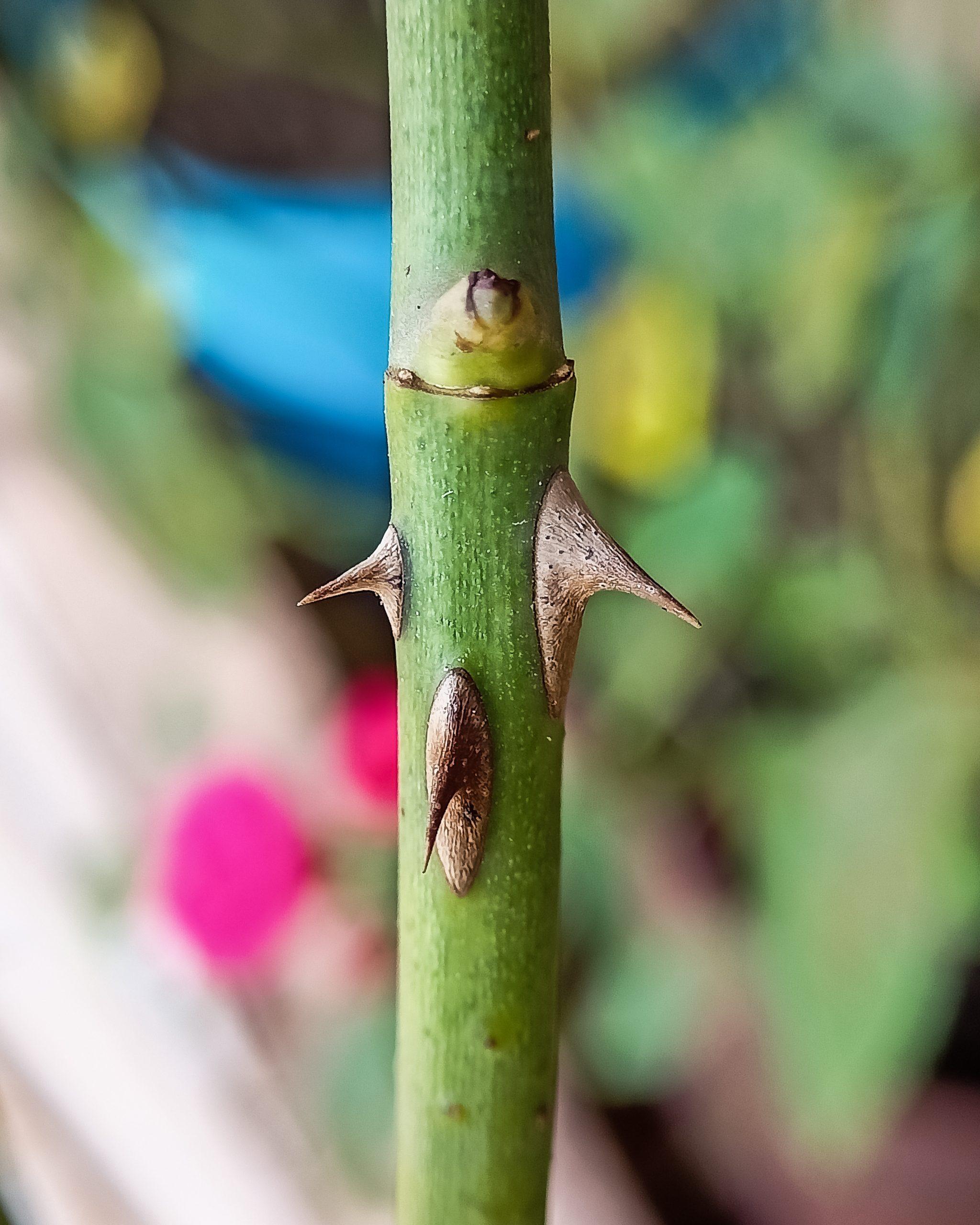 A rose plant stem