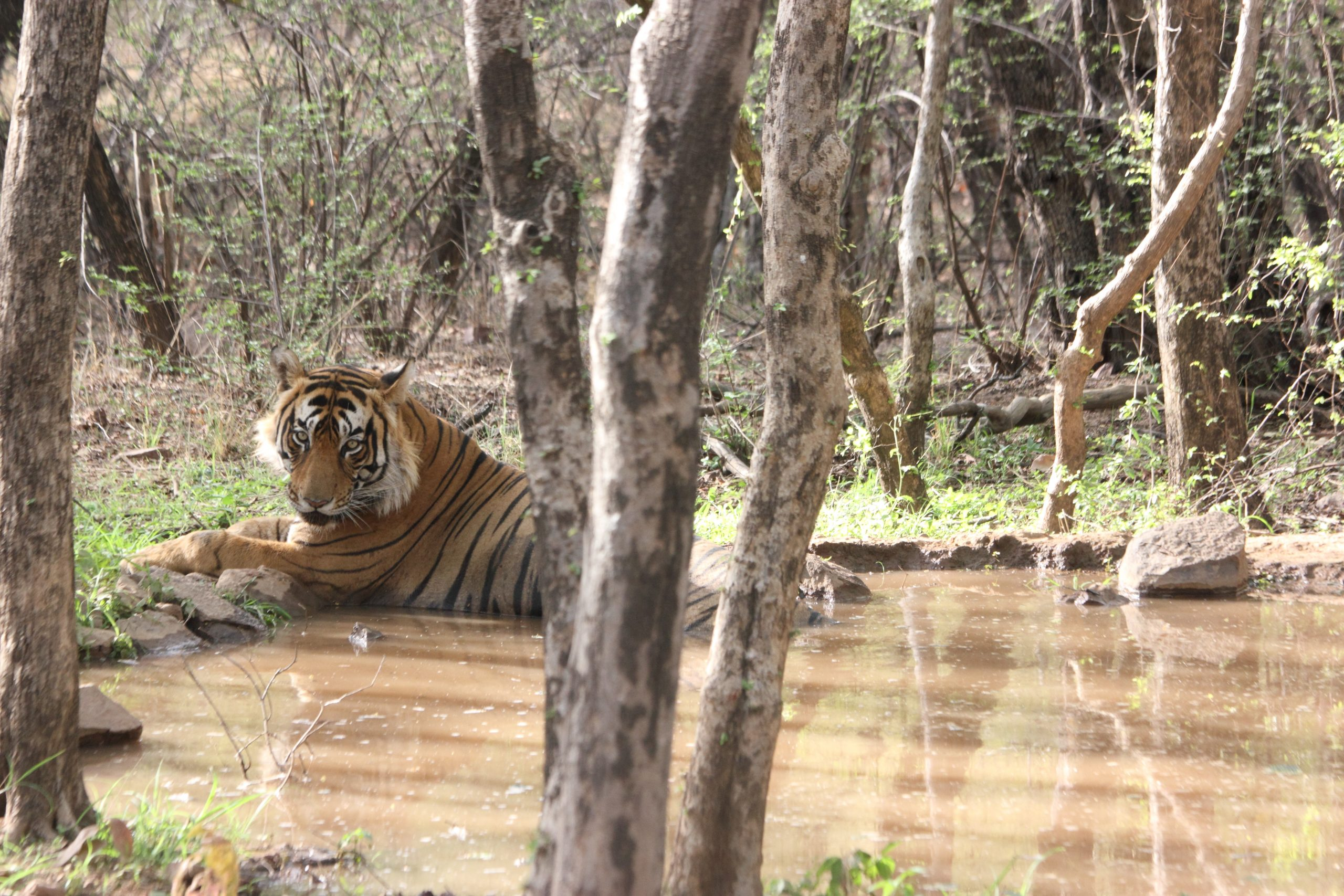 A tiger in a puddle