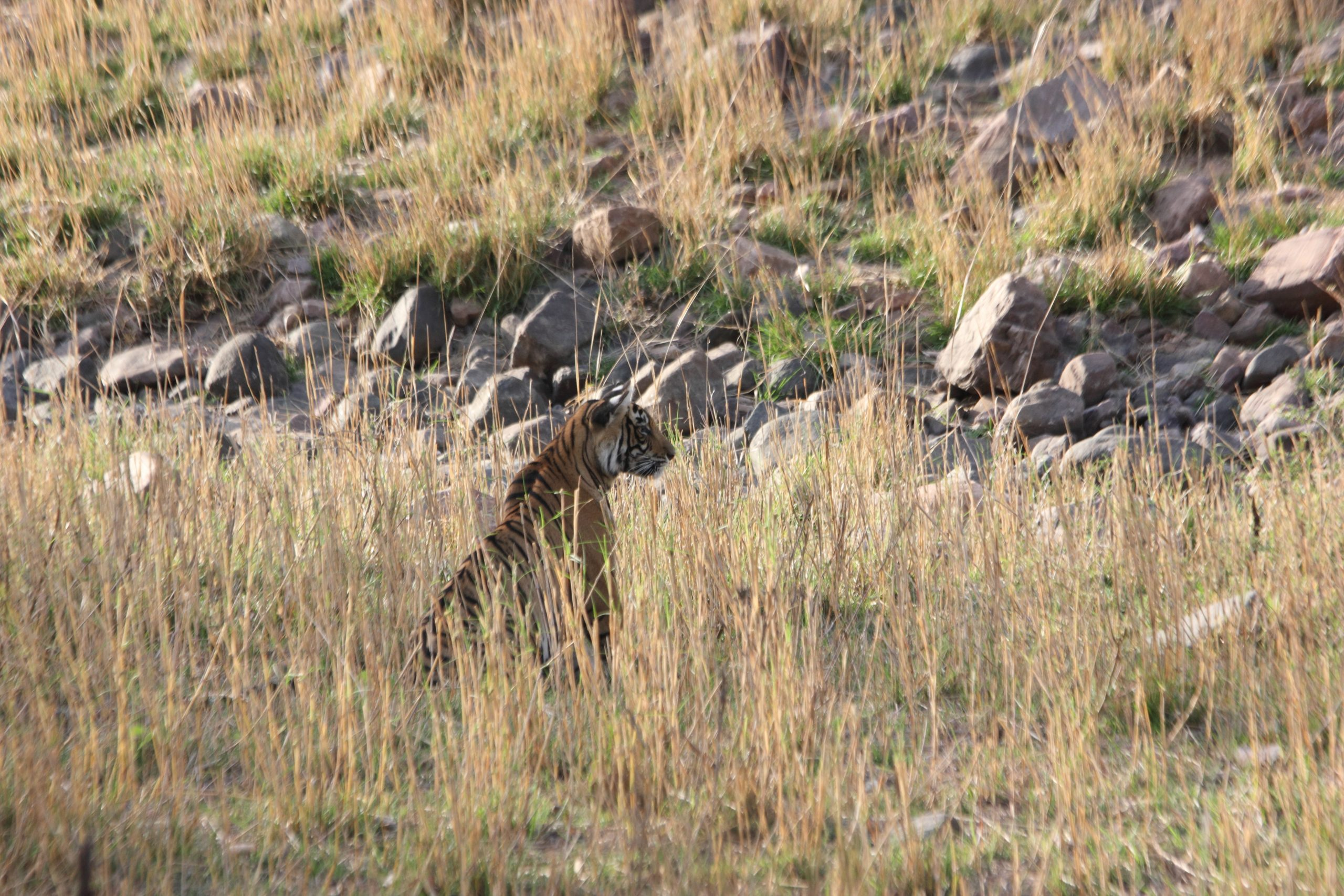 A tiger in jungle