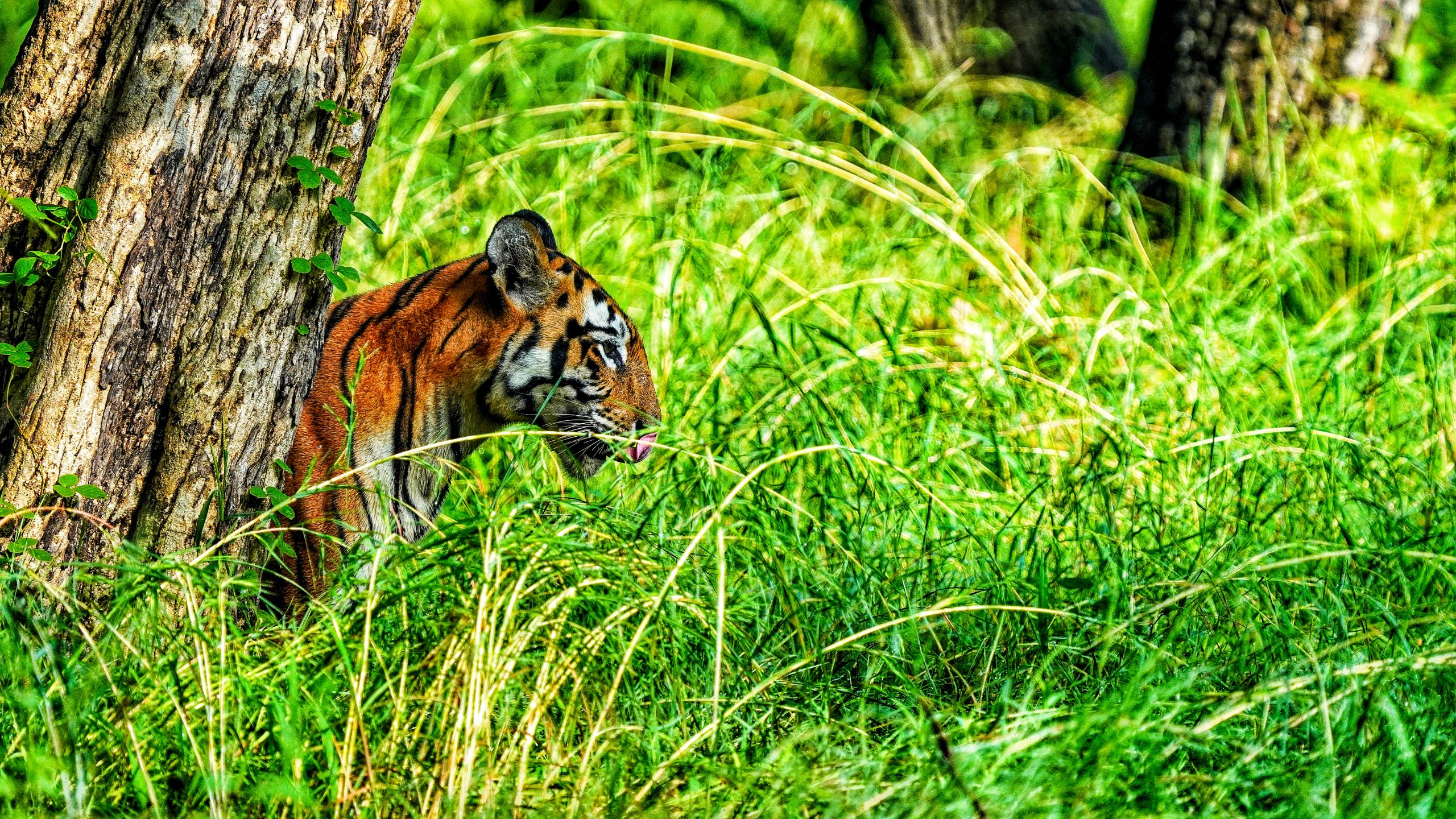 A tiger in wildlife santuary