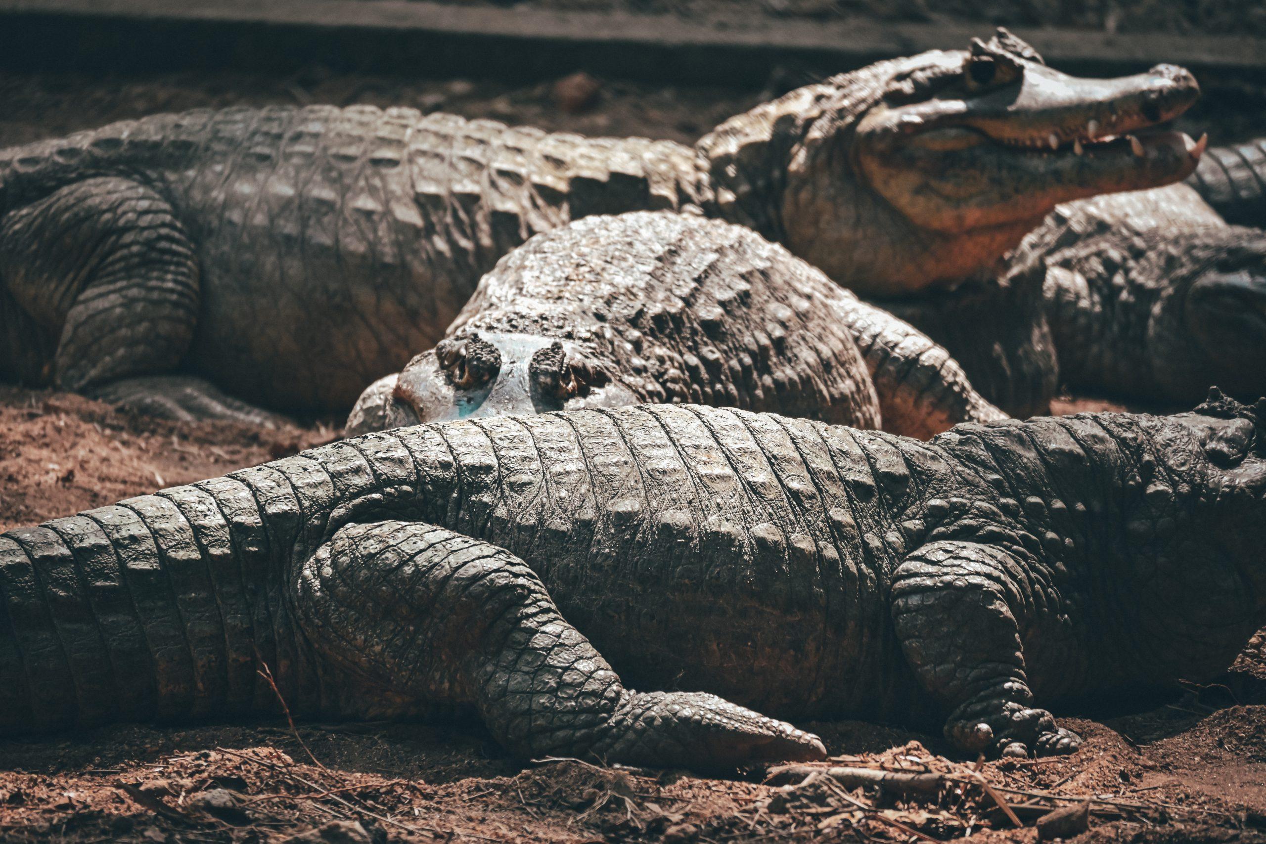 A herd of alligators