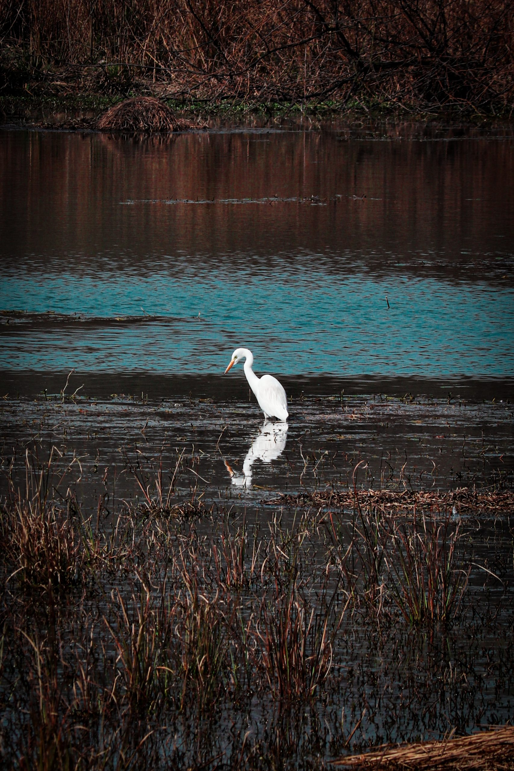 An egret in a pond