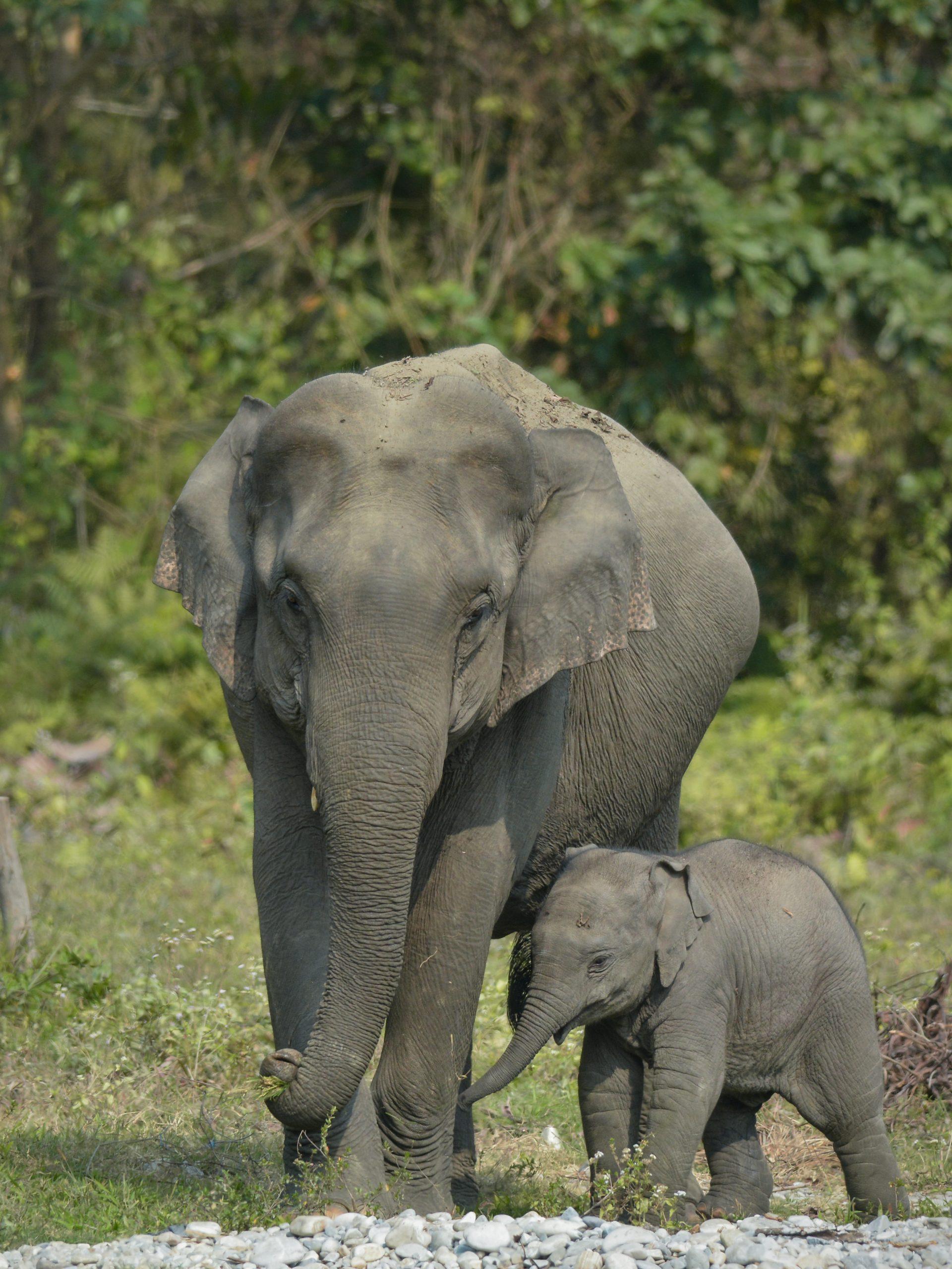 An elephant and calf