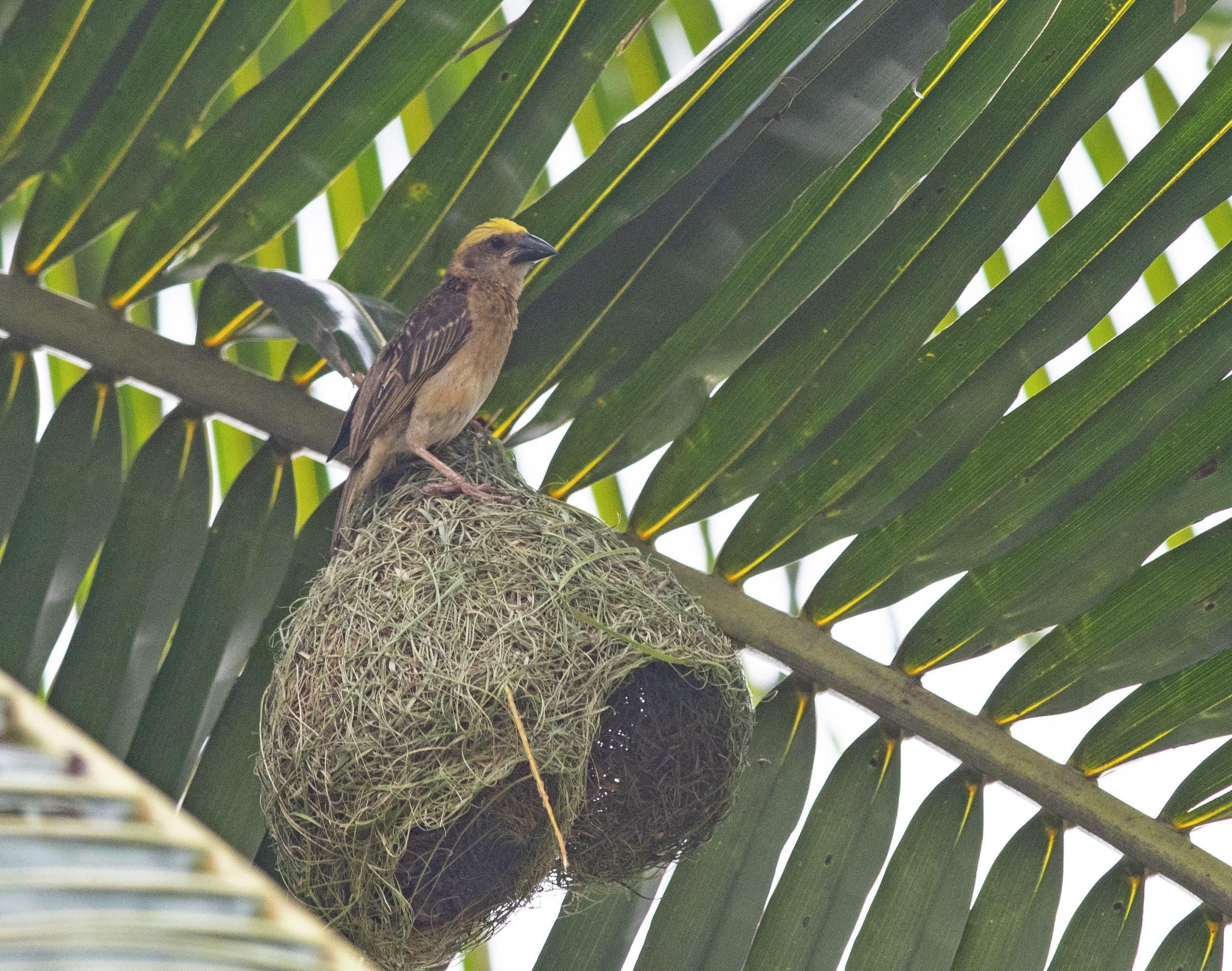 Baya weaver Bird on its nest