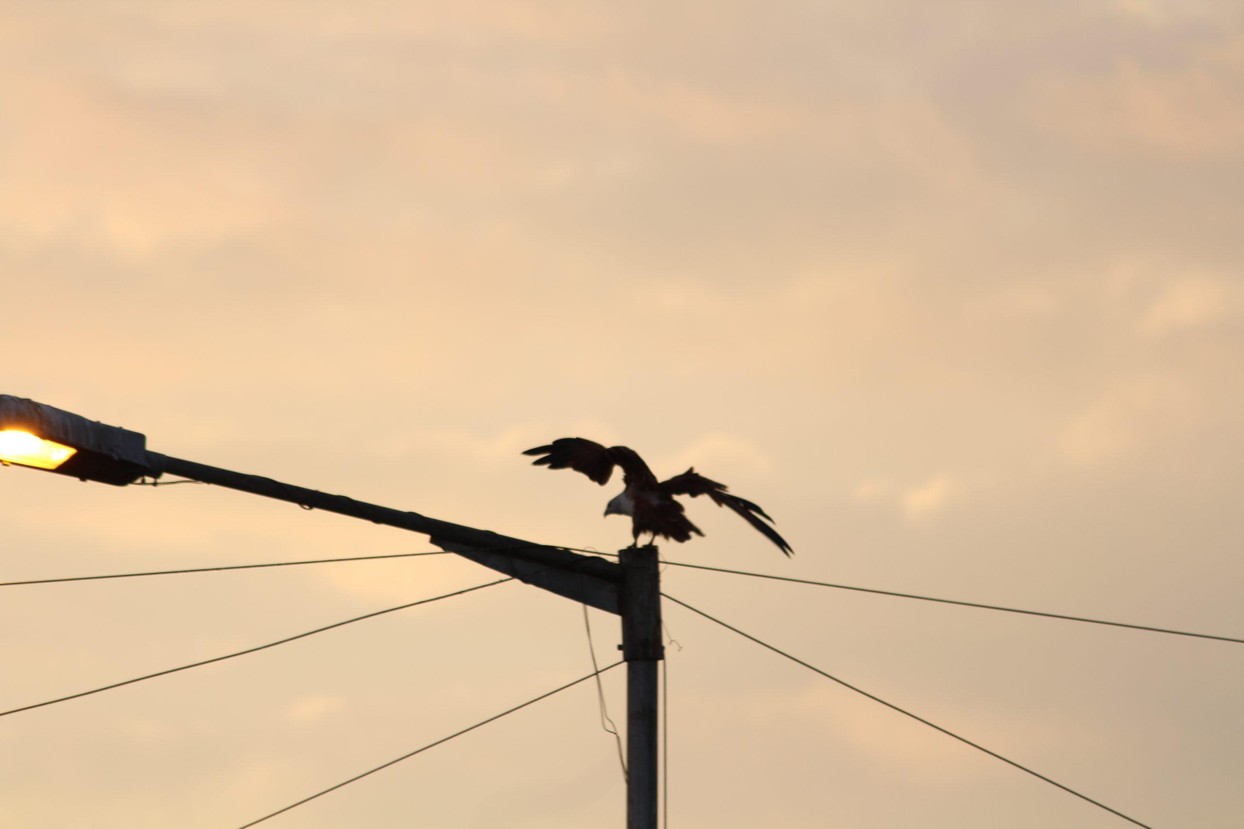 Bird on Electric Pole