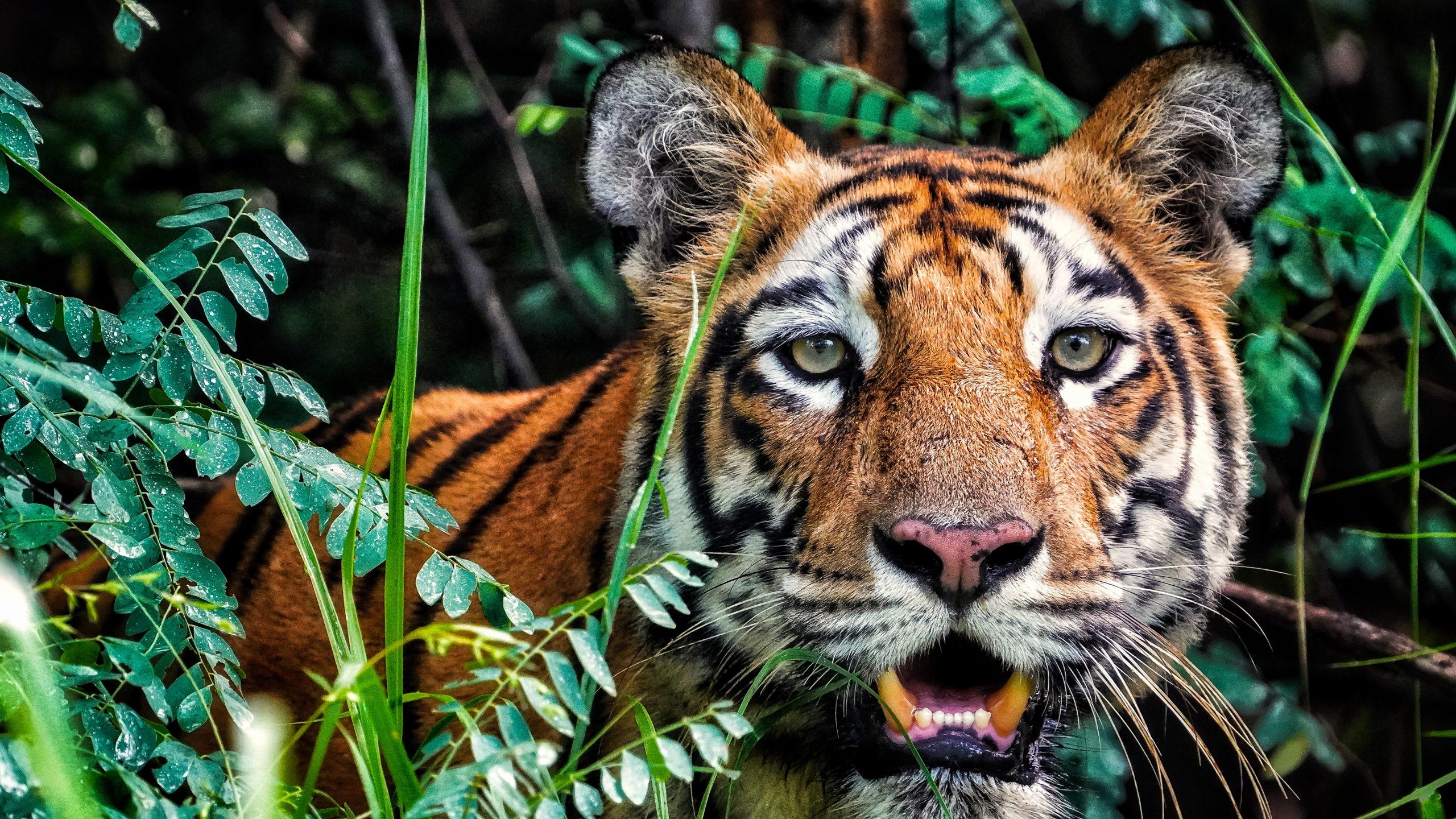 Brave Bengal Tiger