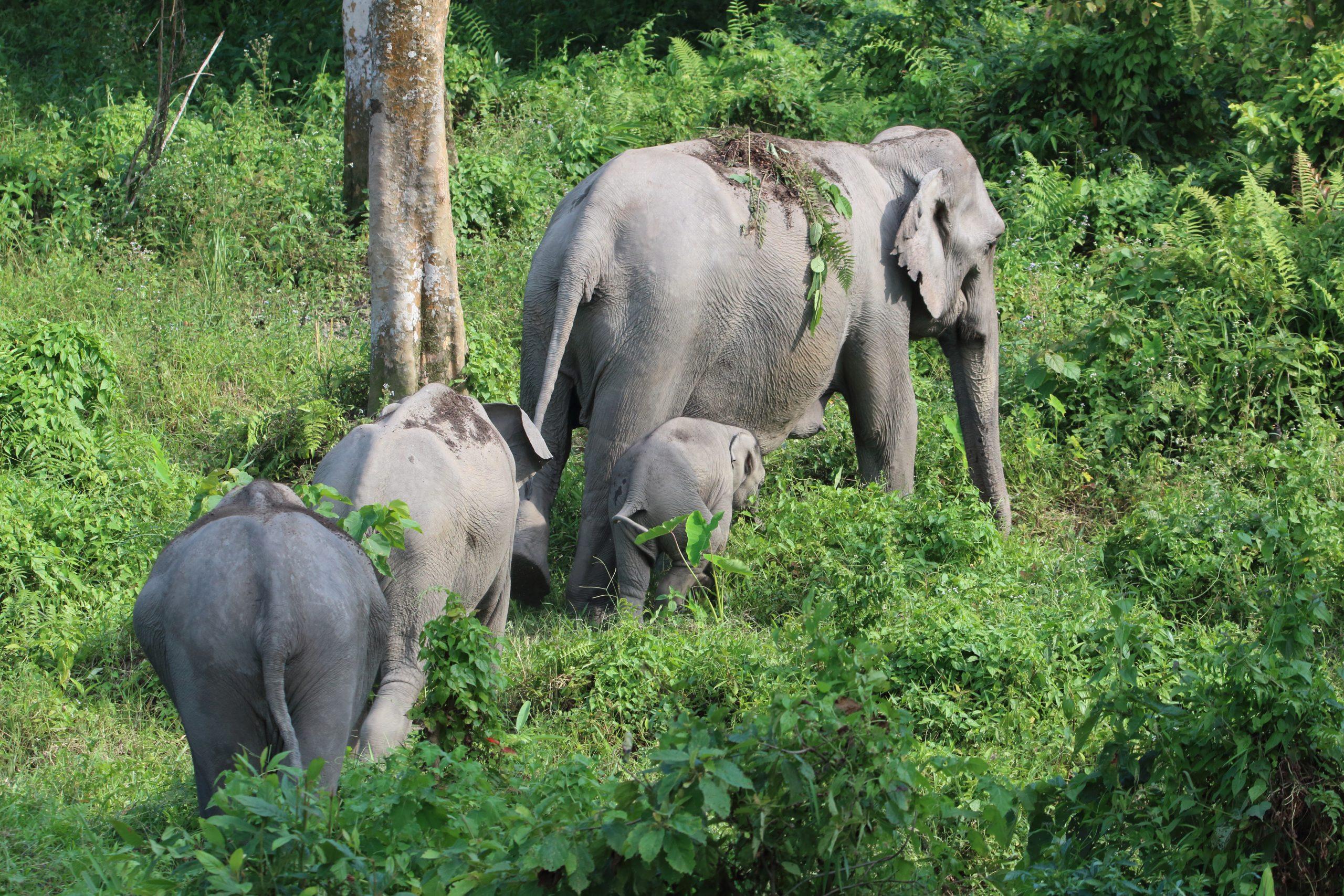 Elephant with calves