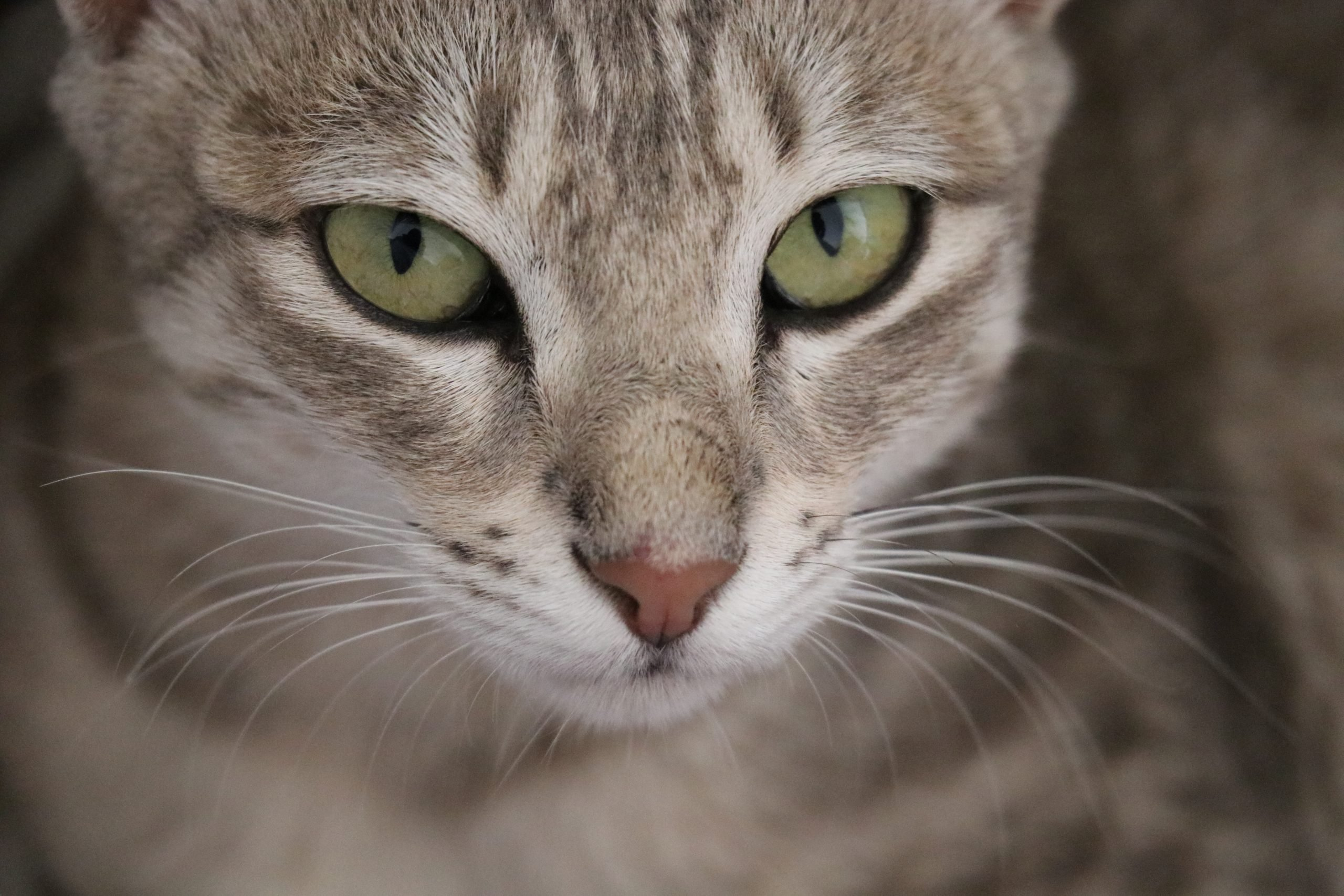 A cat with greenish eyes