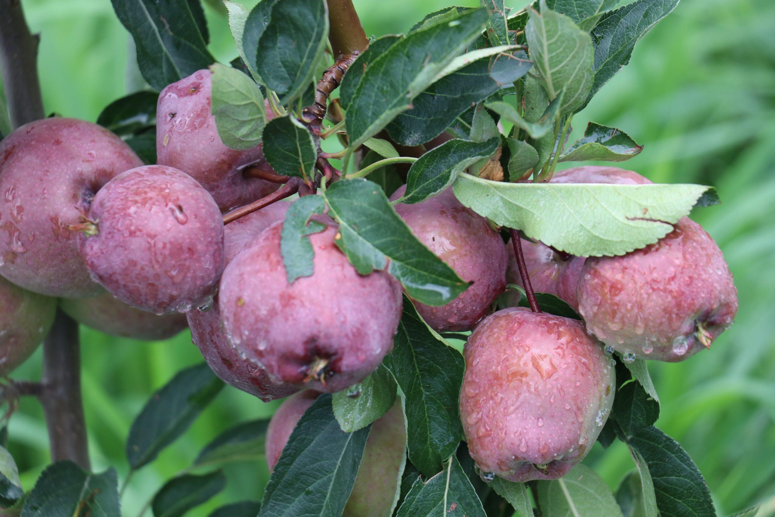 Fresh apples on a tree