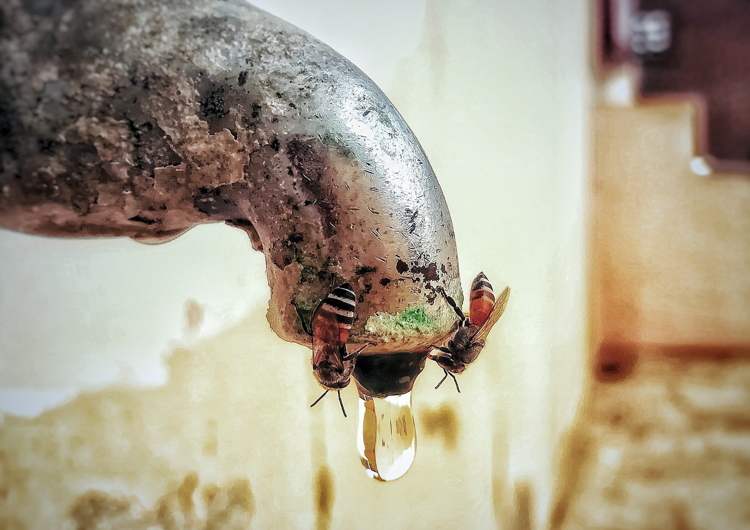 Honeybee on a tap nozzle