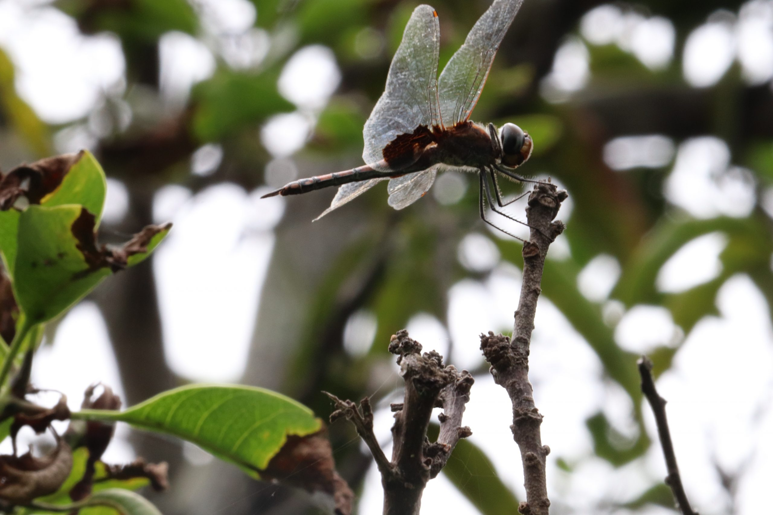 An insect with large wings
