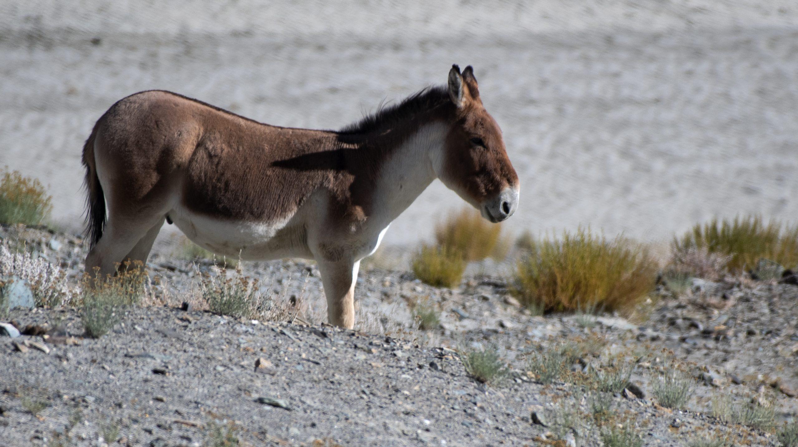 Tibetan wild ass at Ladakh.