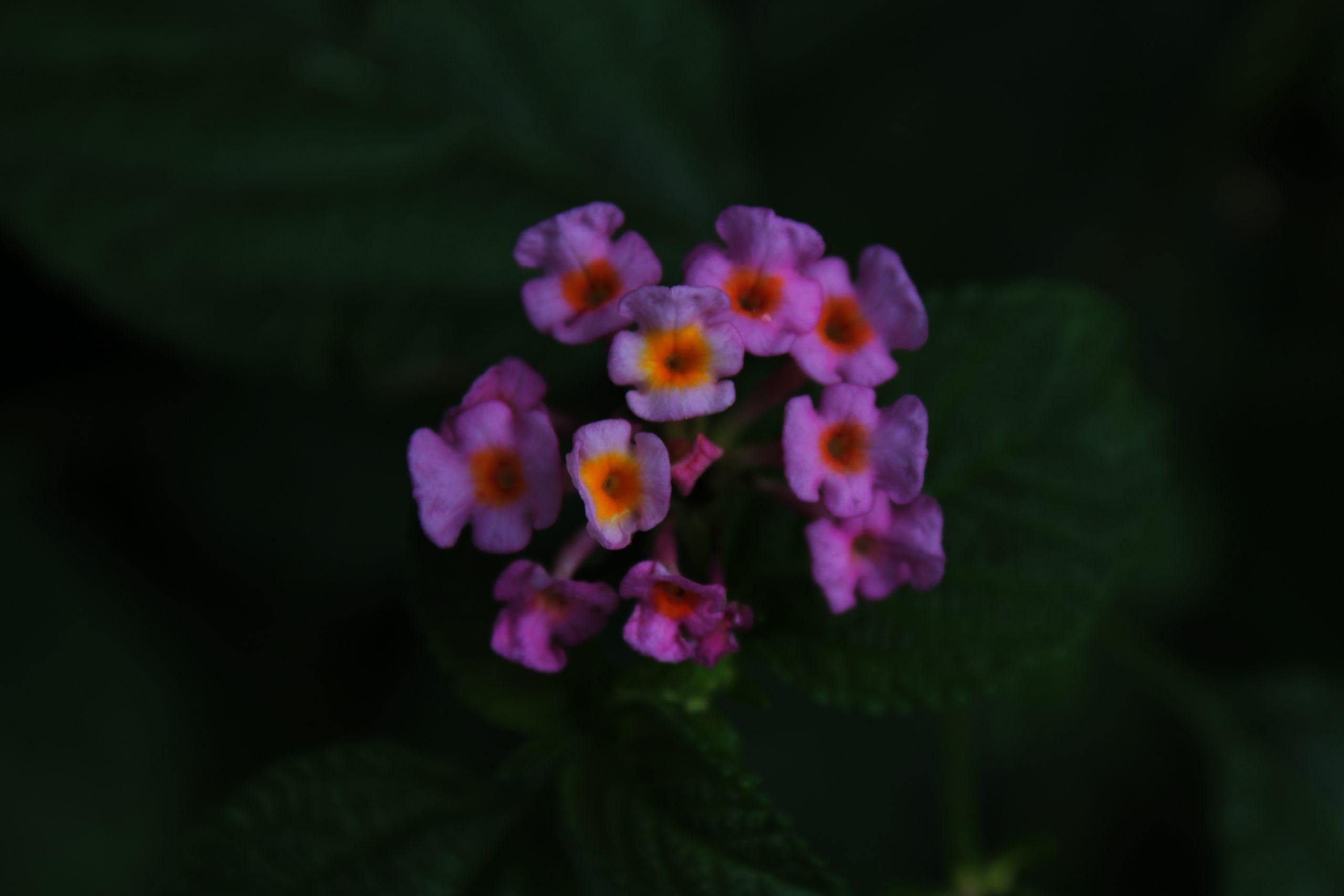 Lanthanum Flower