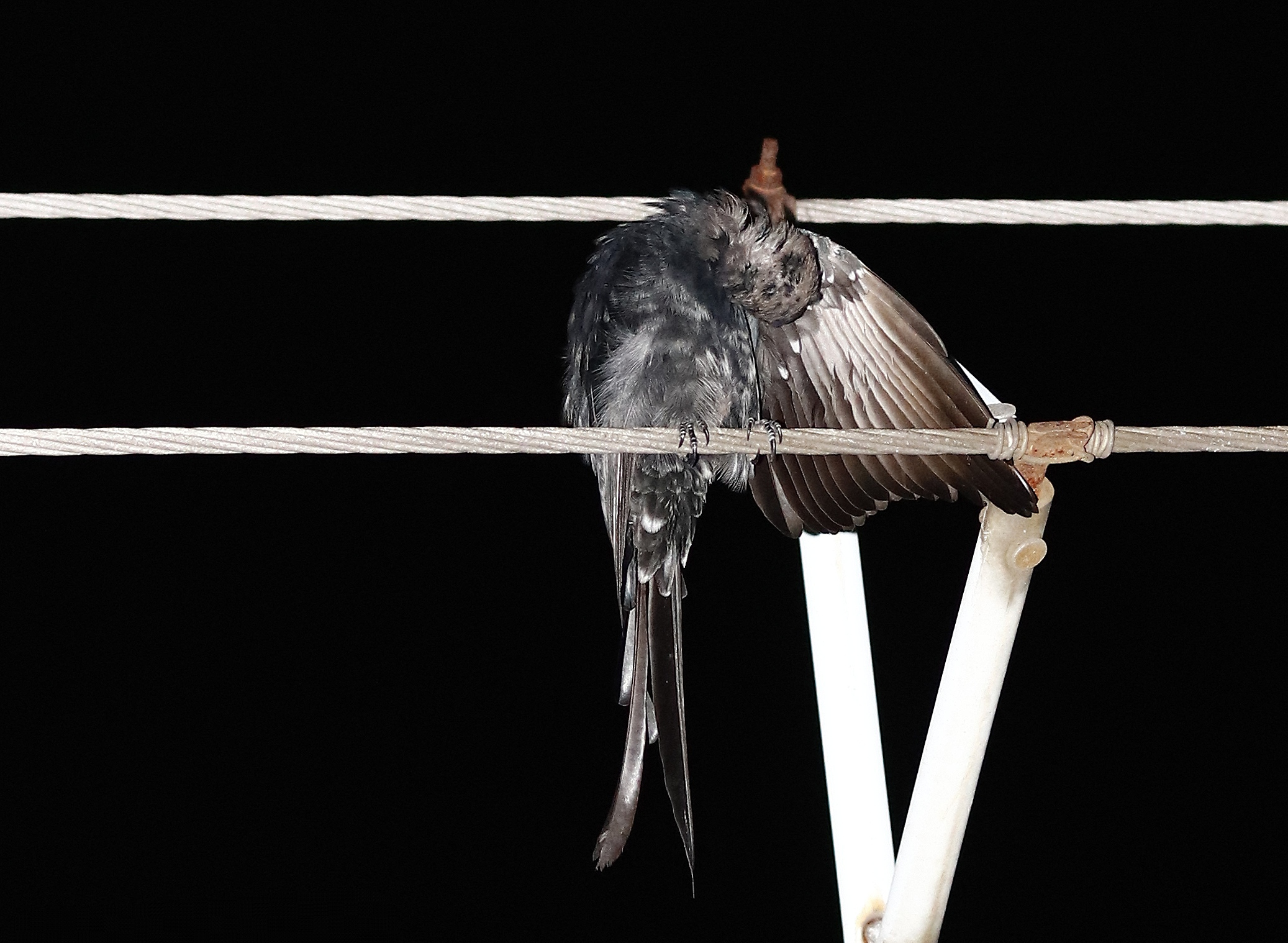 Bird Sitting on Electrical Wire