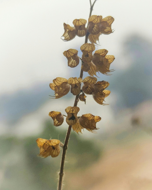 The Holy Basil plant- Tulsi.