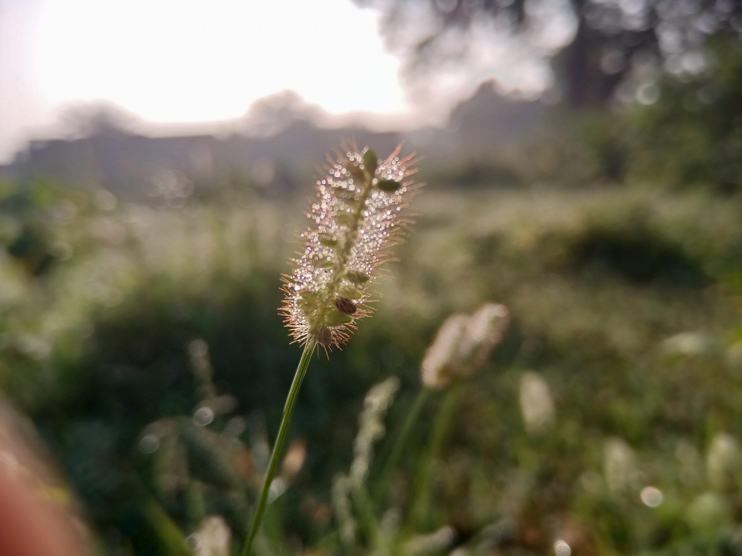 Moisture on a grass straw