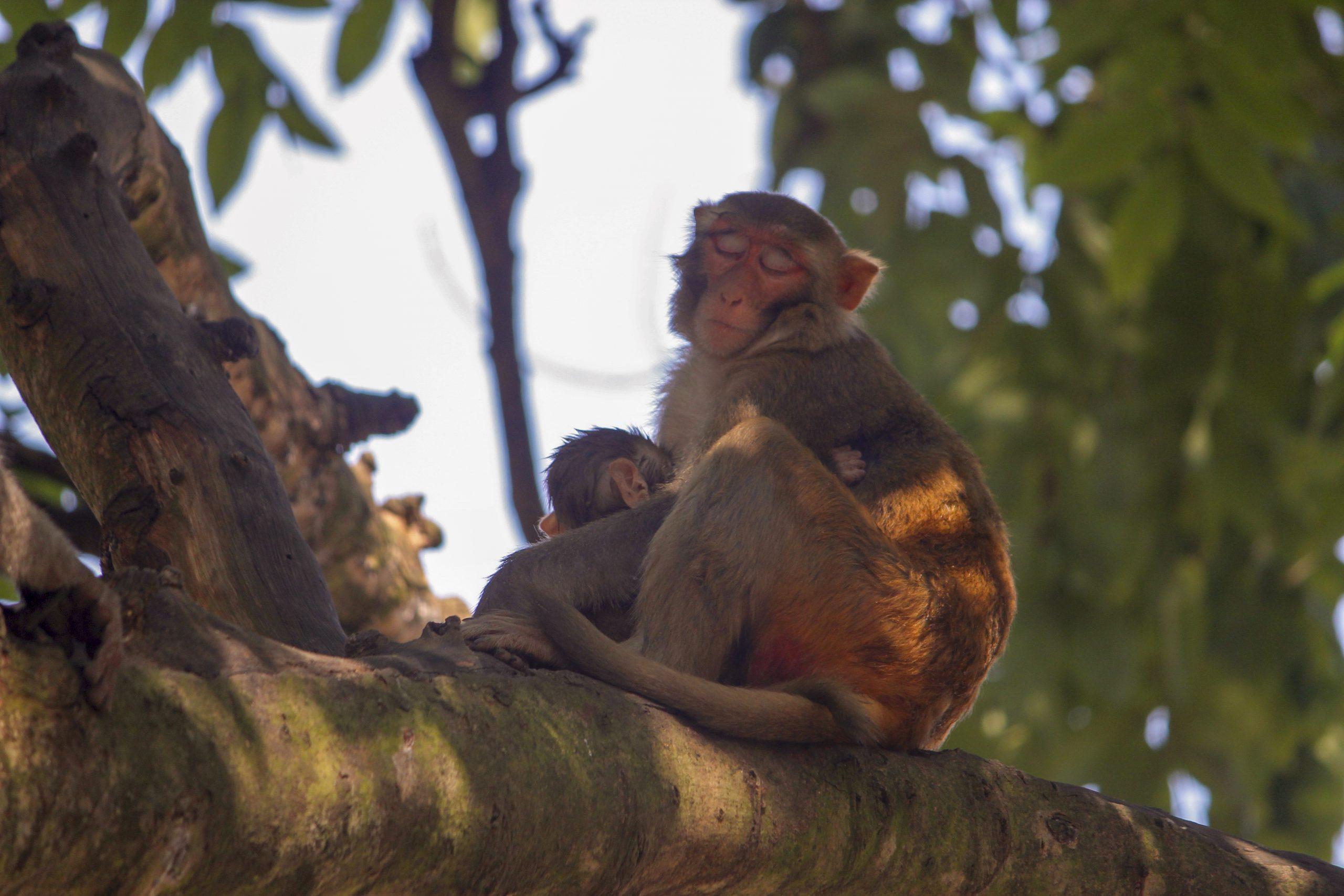 Monkey sleeping on a tree