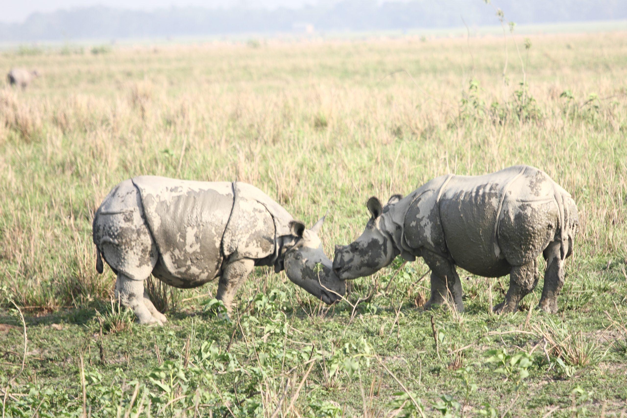 Pair of Indian Rhinoceros