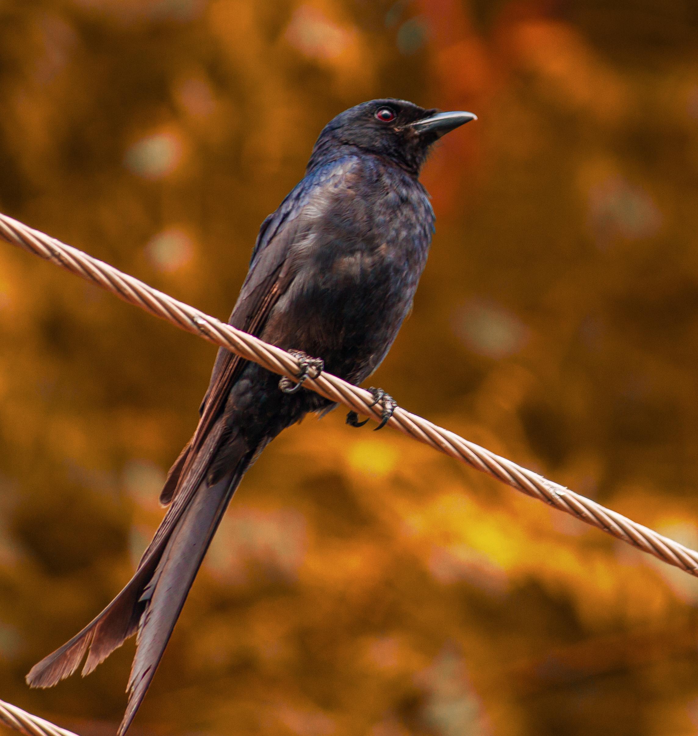 Perching Cuckoo