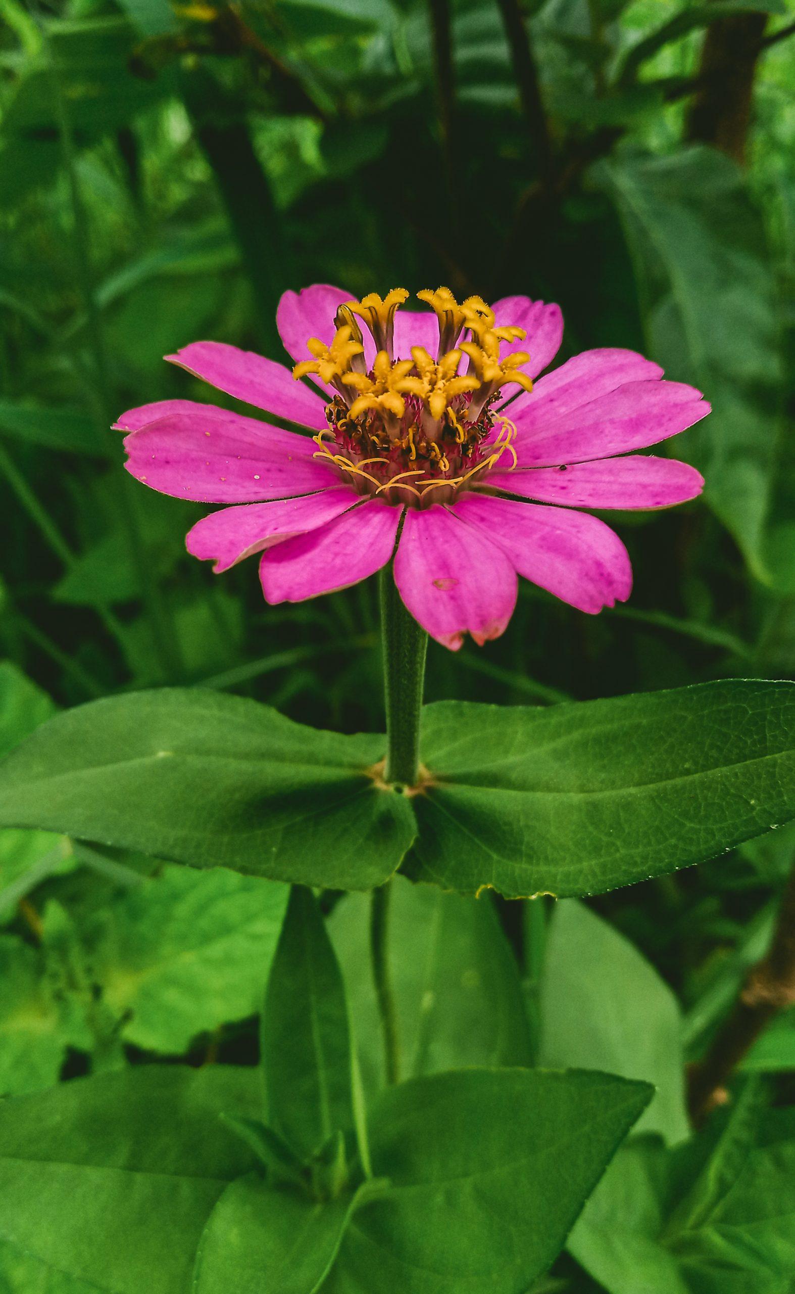 Pink coloured common zinnia